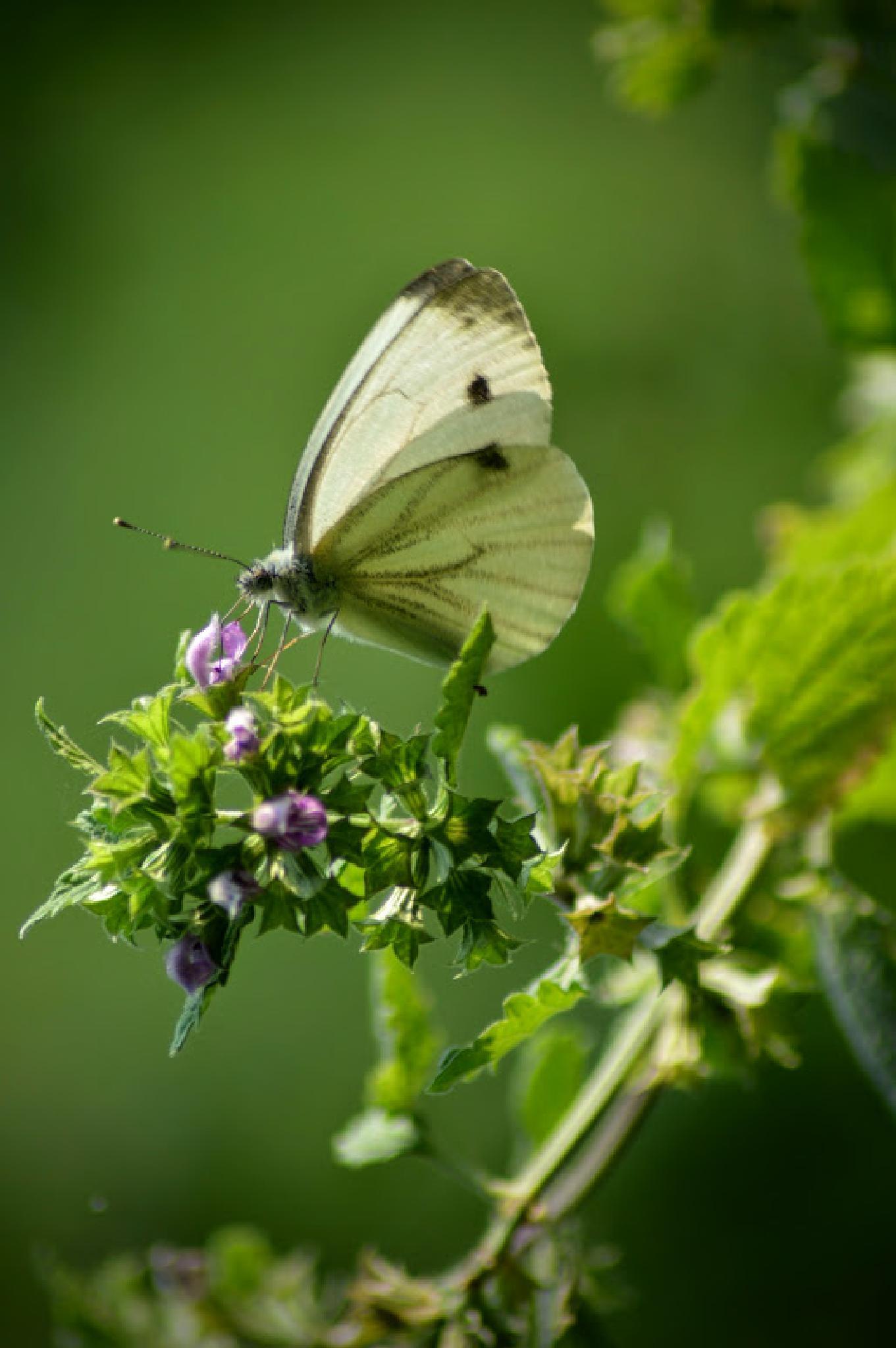 Butterfly by samu