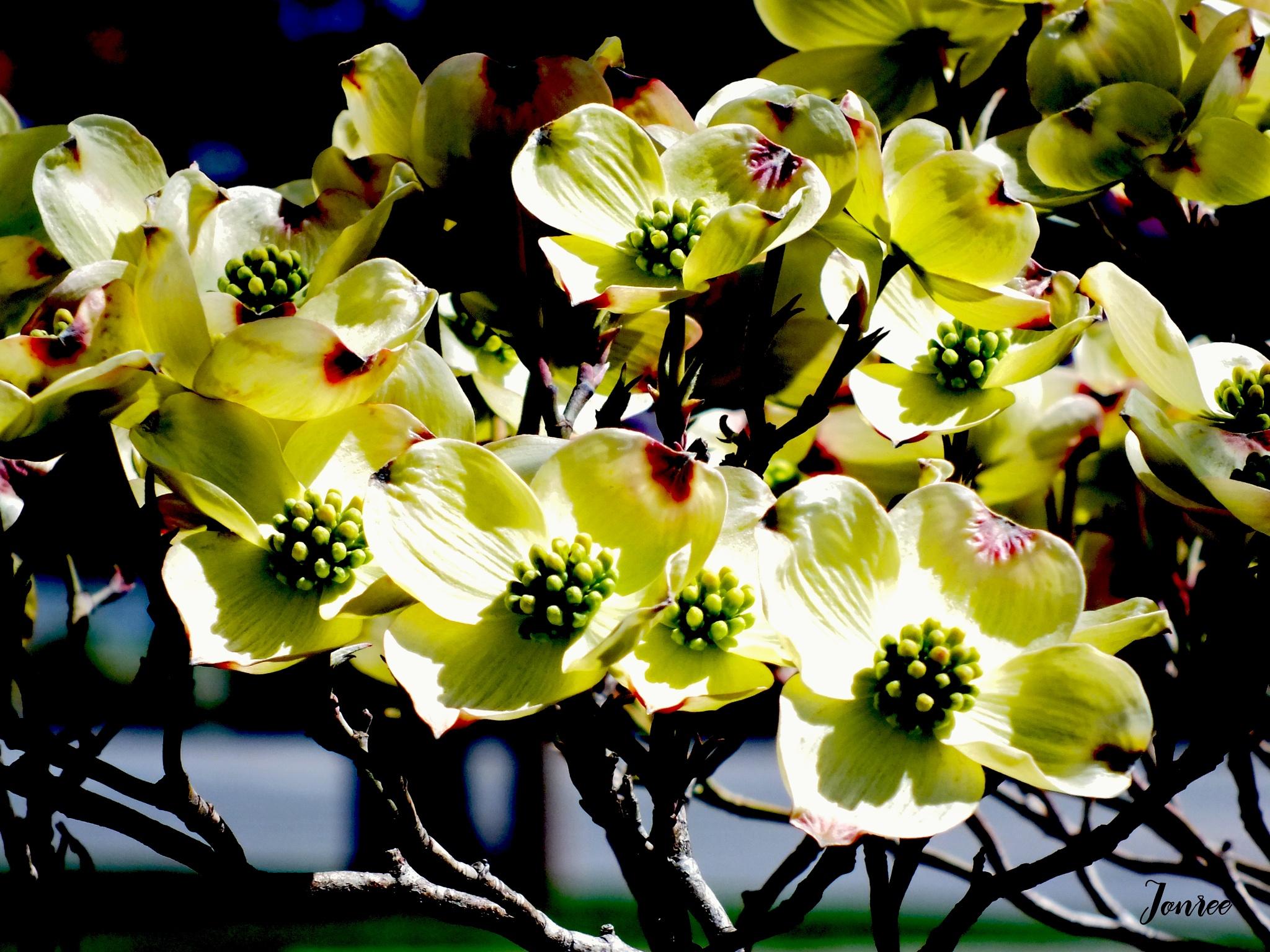 Dogwood Blooms by Lorenzo (Larry) Jonree