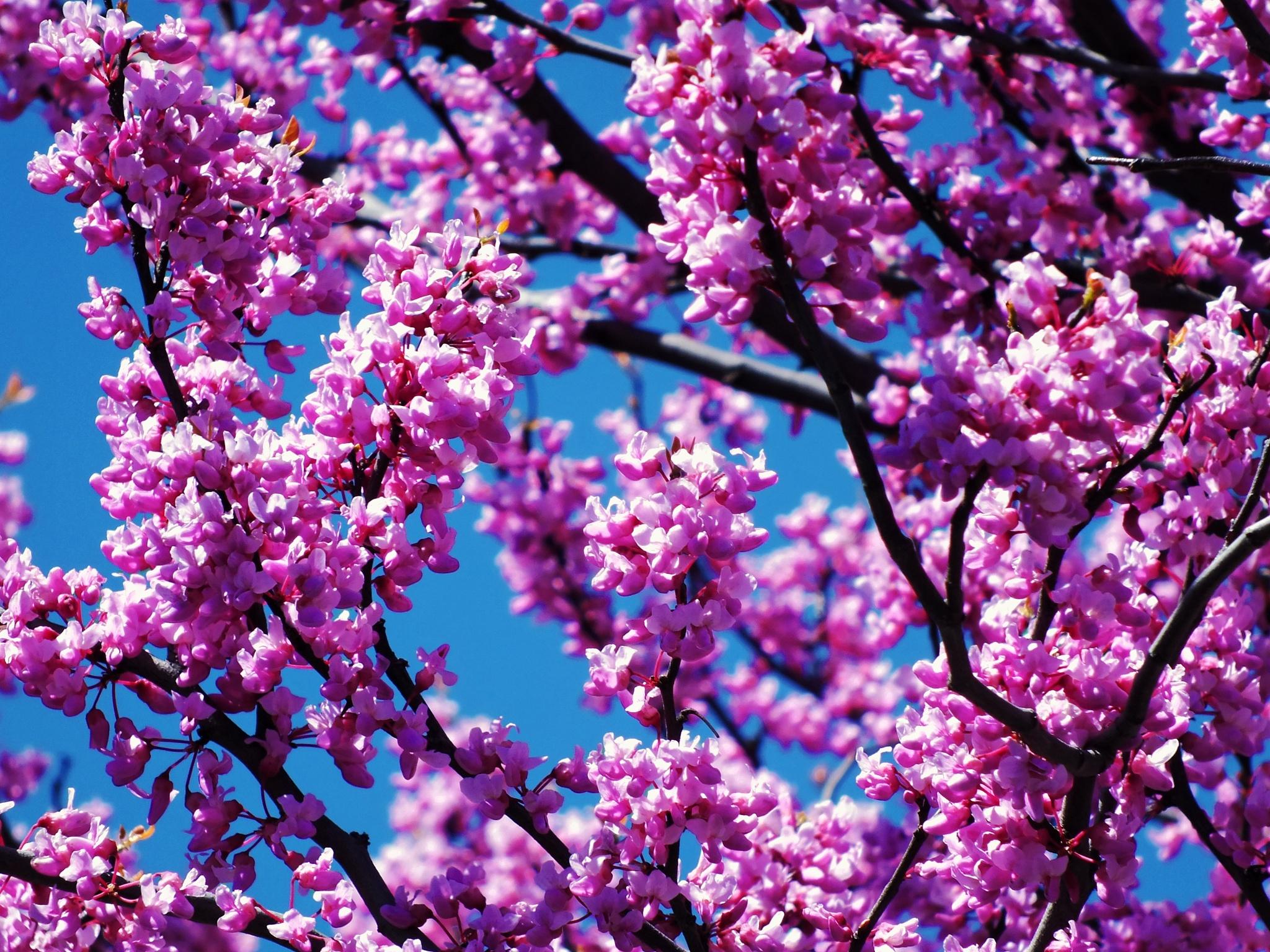 Redbud Tree Blooms by Lorenzo (Larry) Jonree