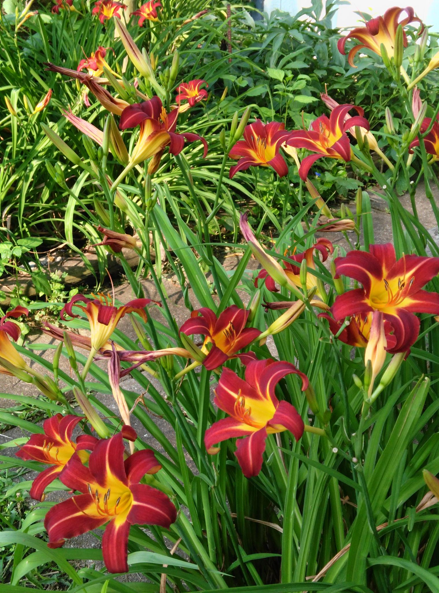 Red and Yellow Day Lilies by Lorenzo (Larry) Jonree