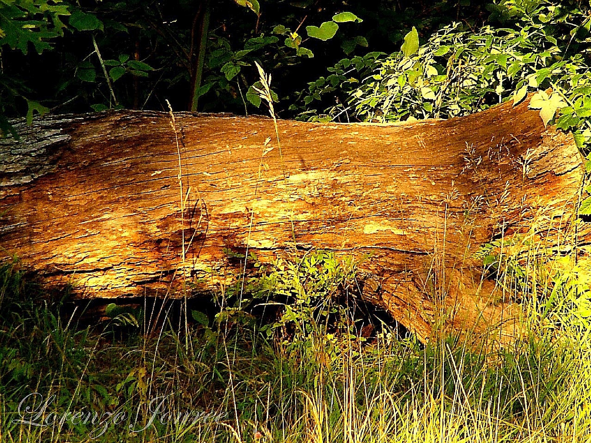 Fallen Tree by Lorenzo (Larry) Jonree