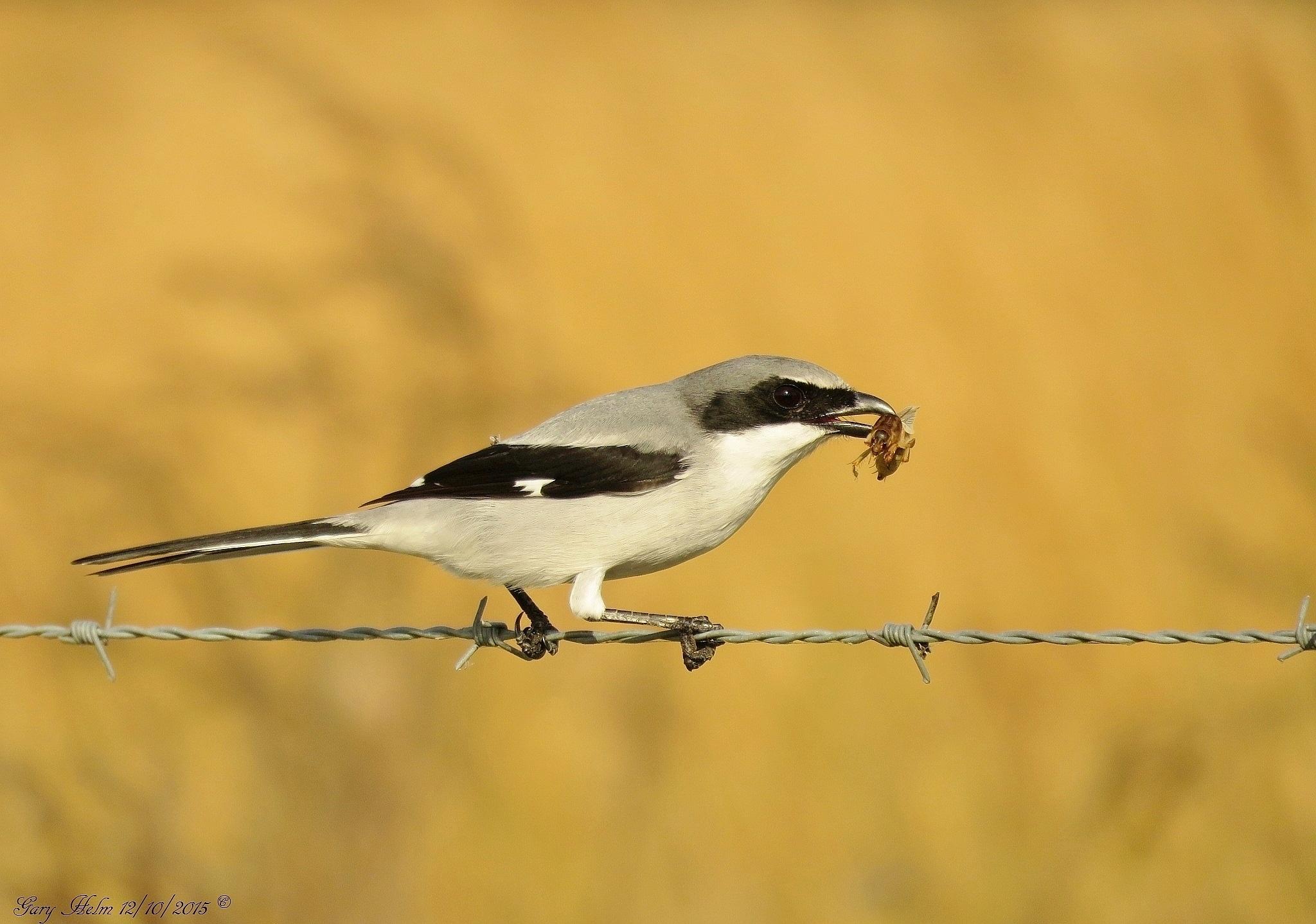 Loggerhead Shrike by Gary Helm