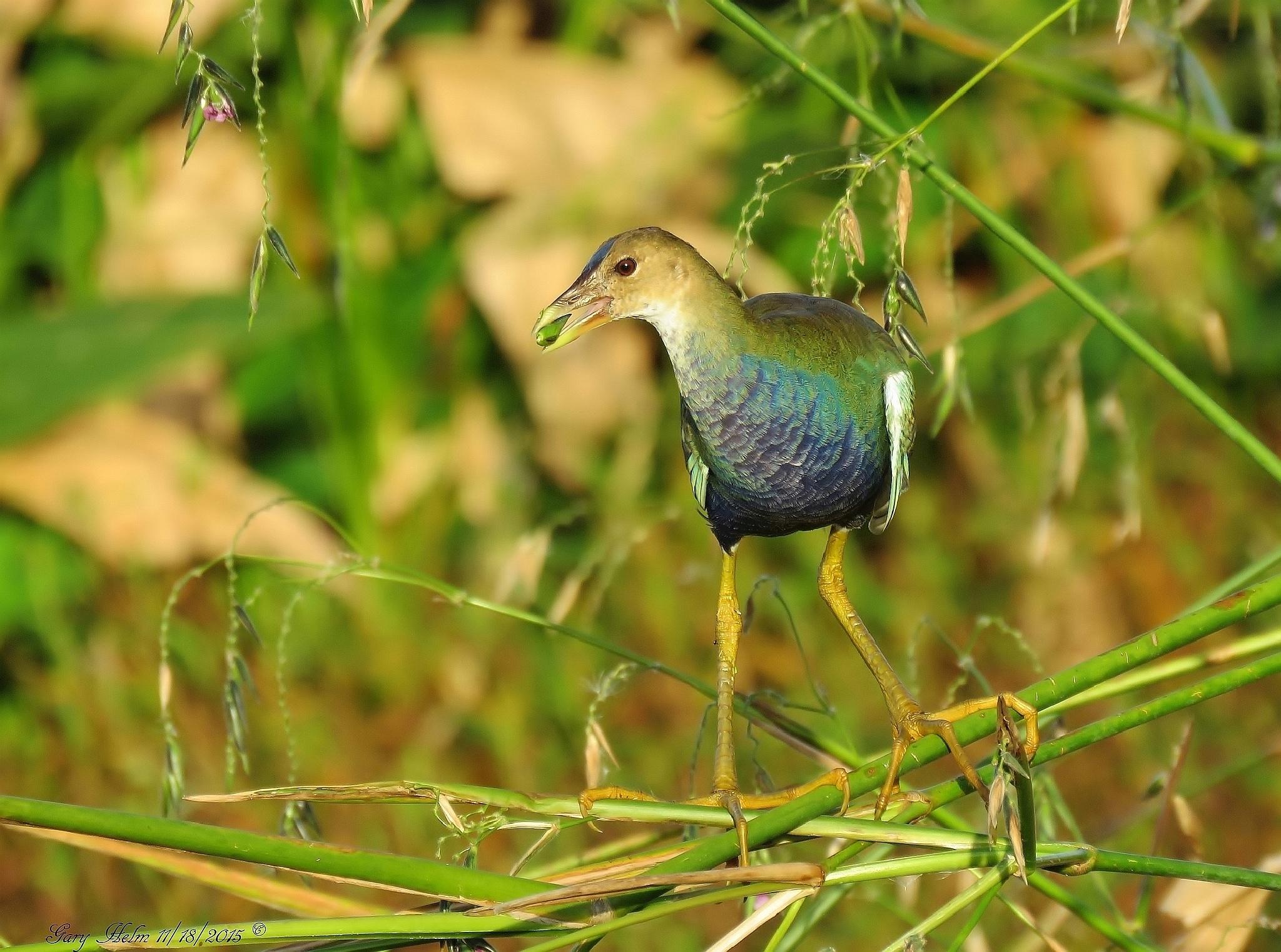Purple Gallinule (Juvenile) by Gary Helm