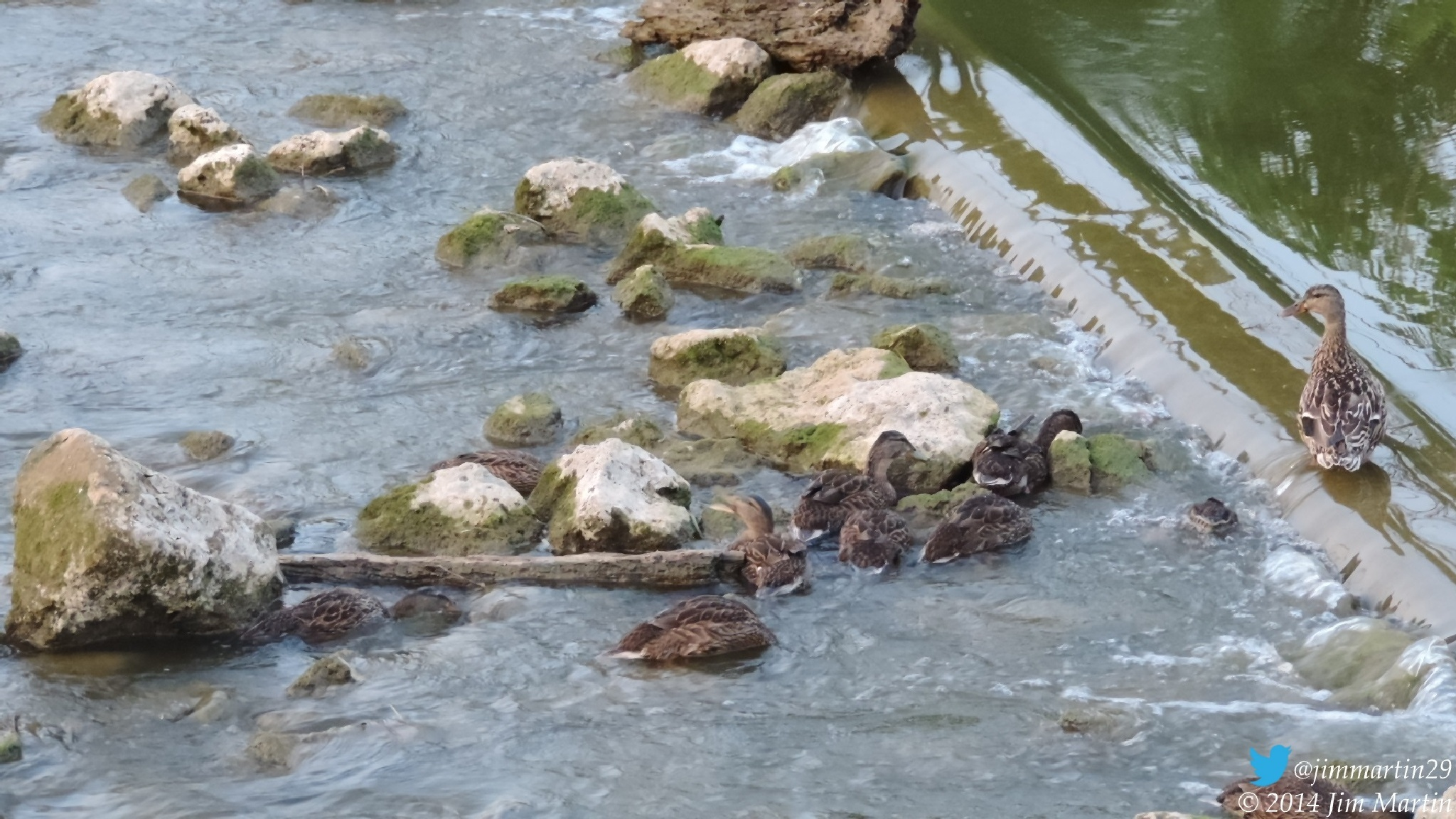 Ducks Cooling Off by Jim Martin
