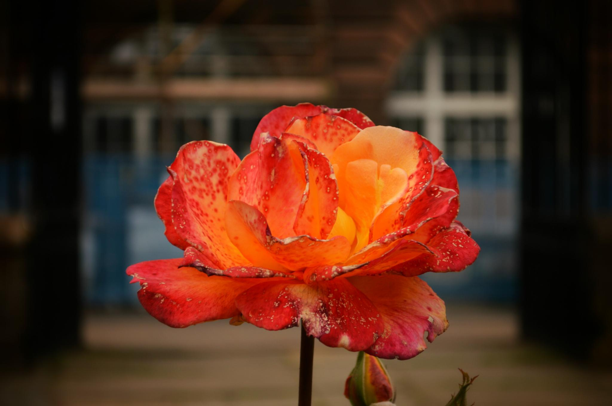 Dying Flower by The PhotoGrabber