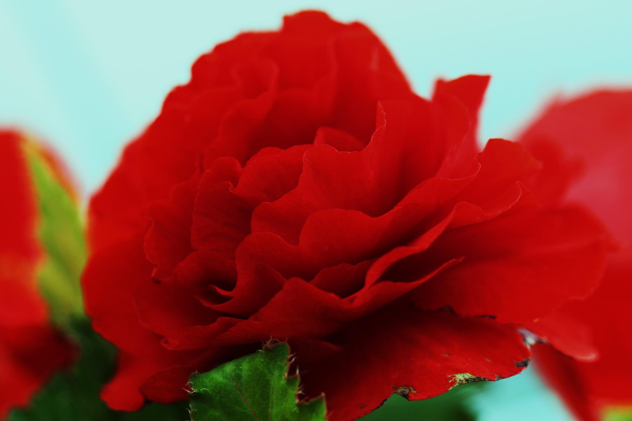 wavy petals by cindy.martin.7503