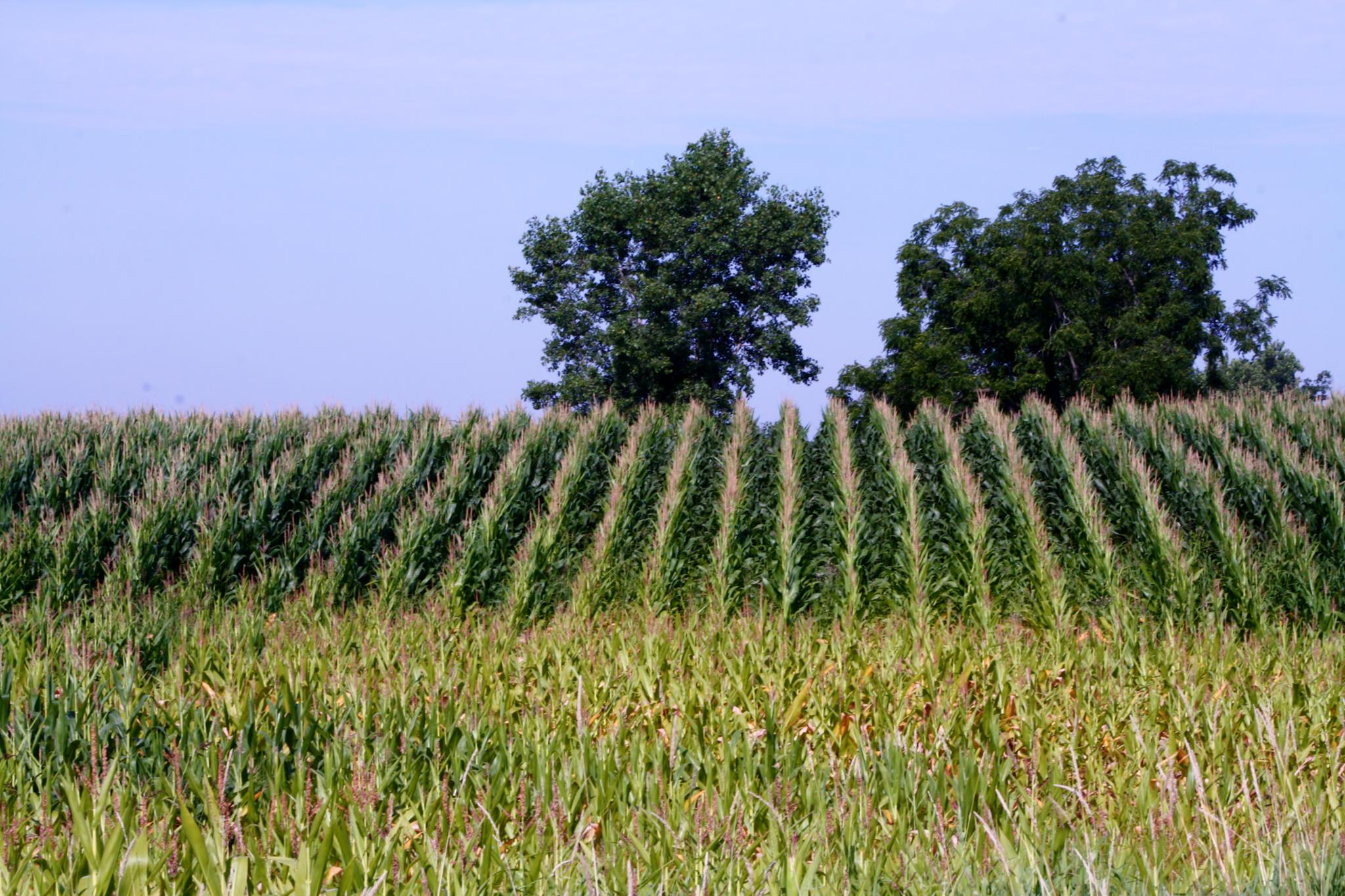 Rows of Tossled Corn by cindy.martin.7503