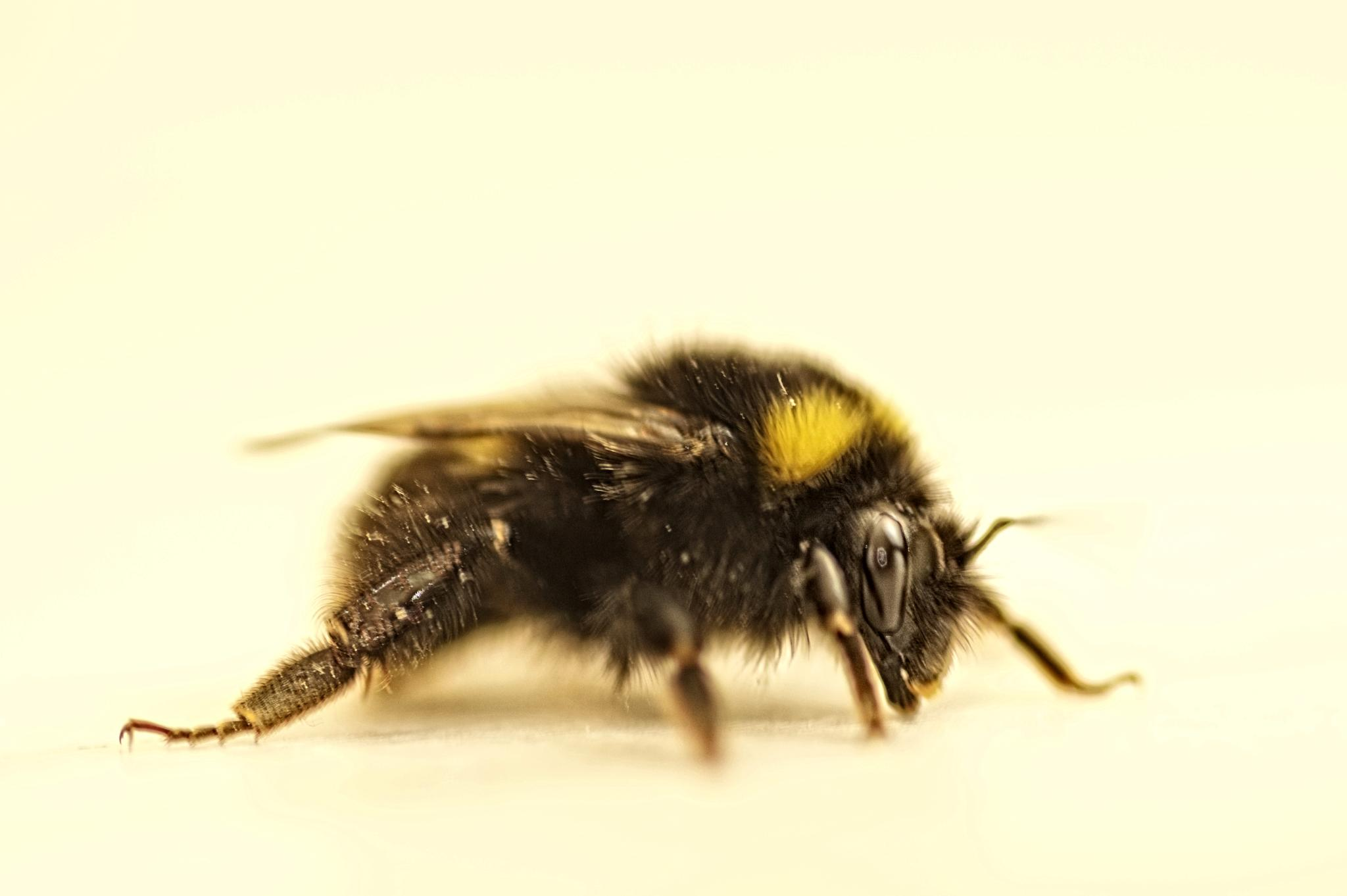again a bumble bee by RIwanowski