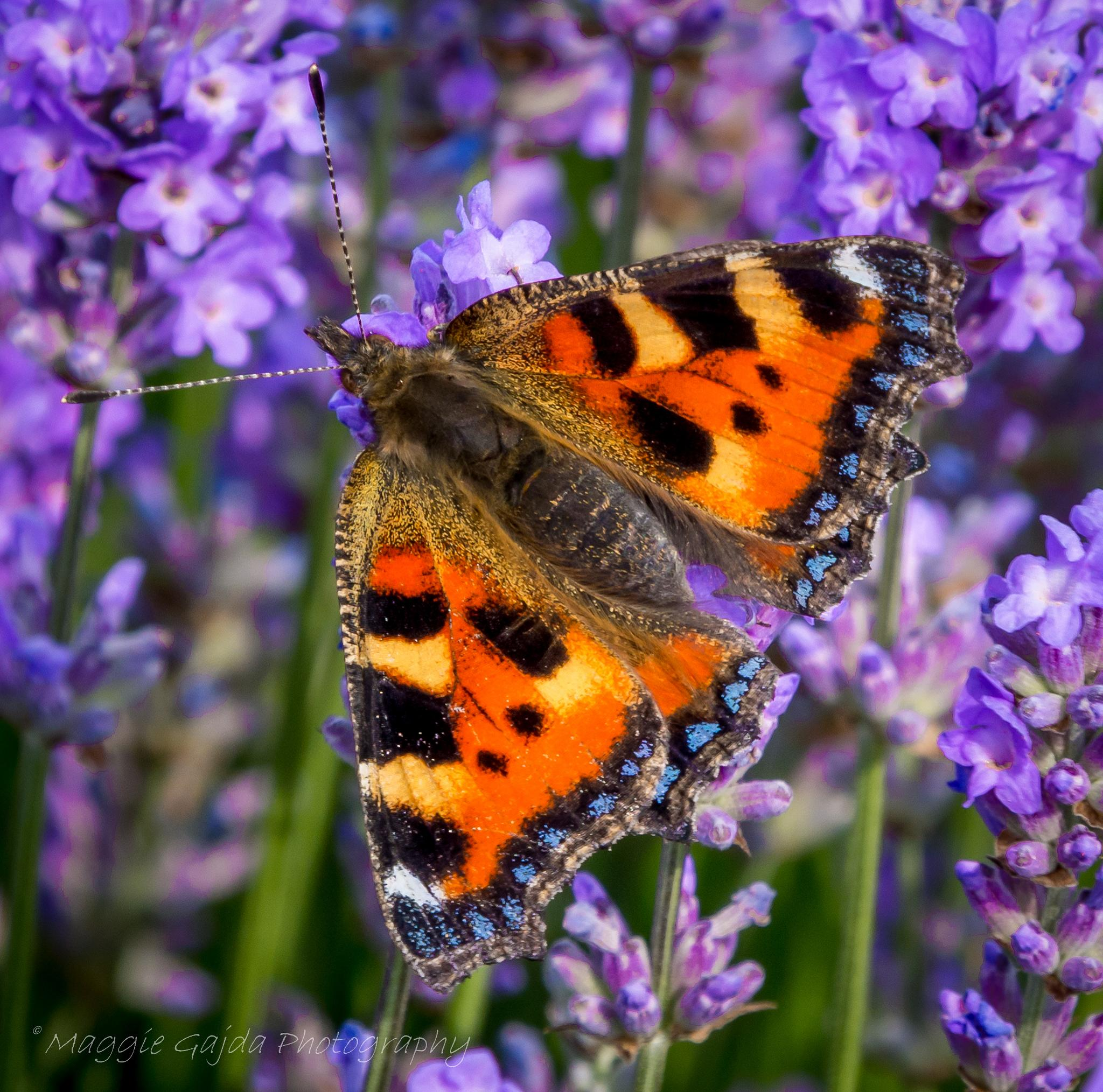 Butterfly  by maggie