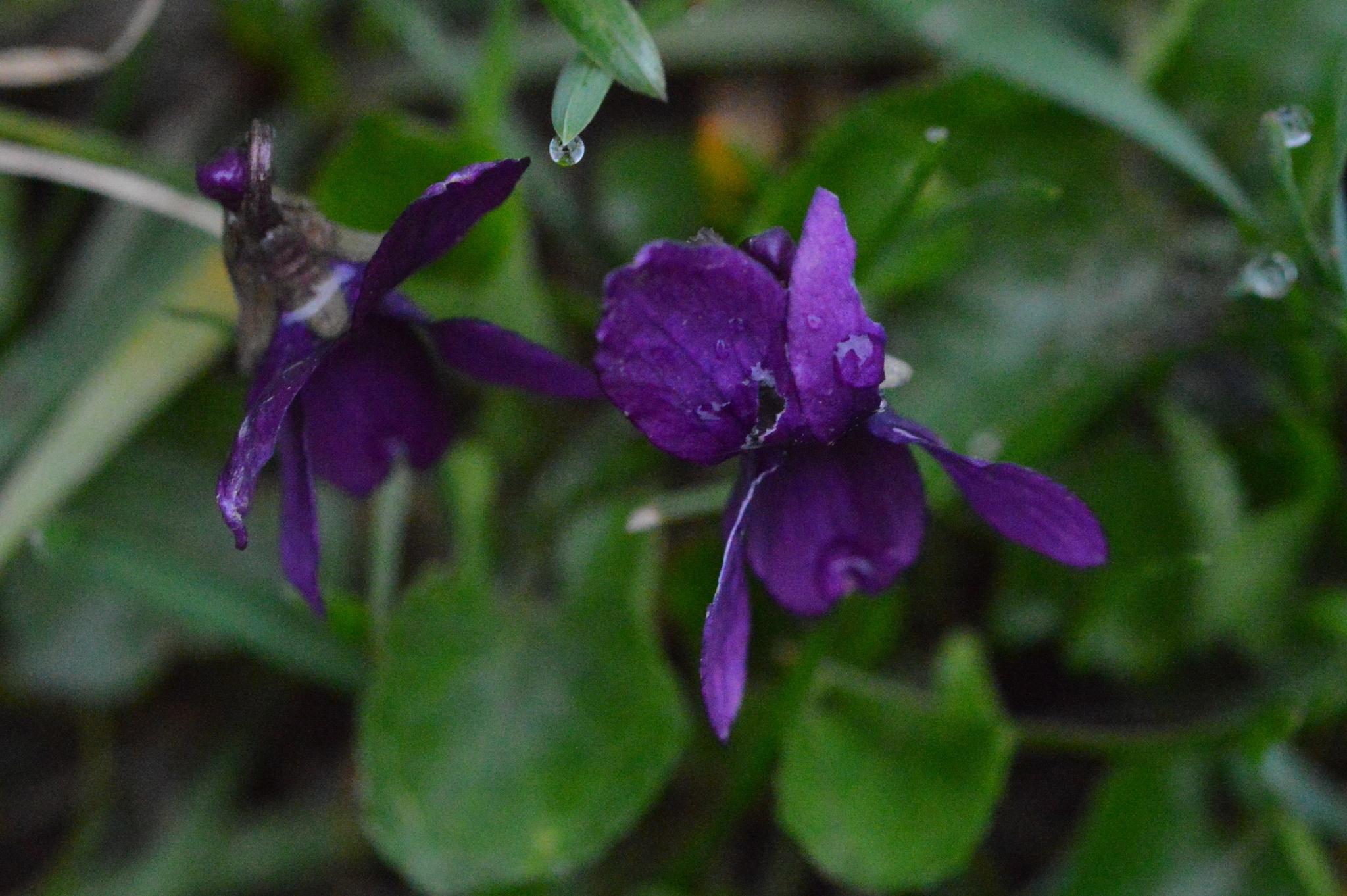 violette by lorena.rinaudo.9