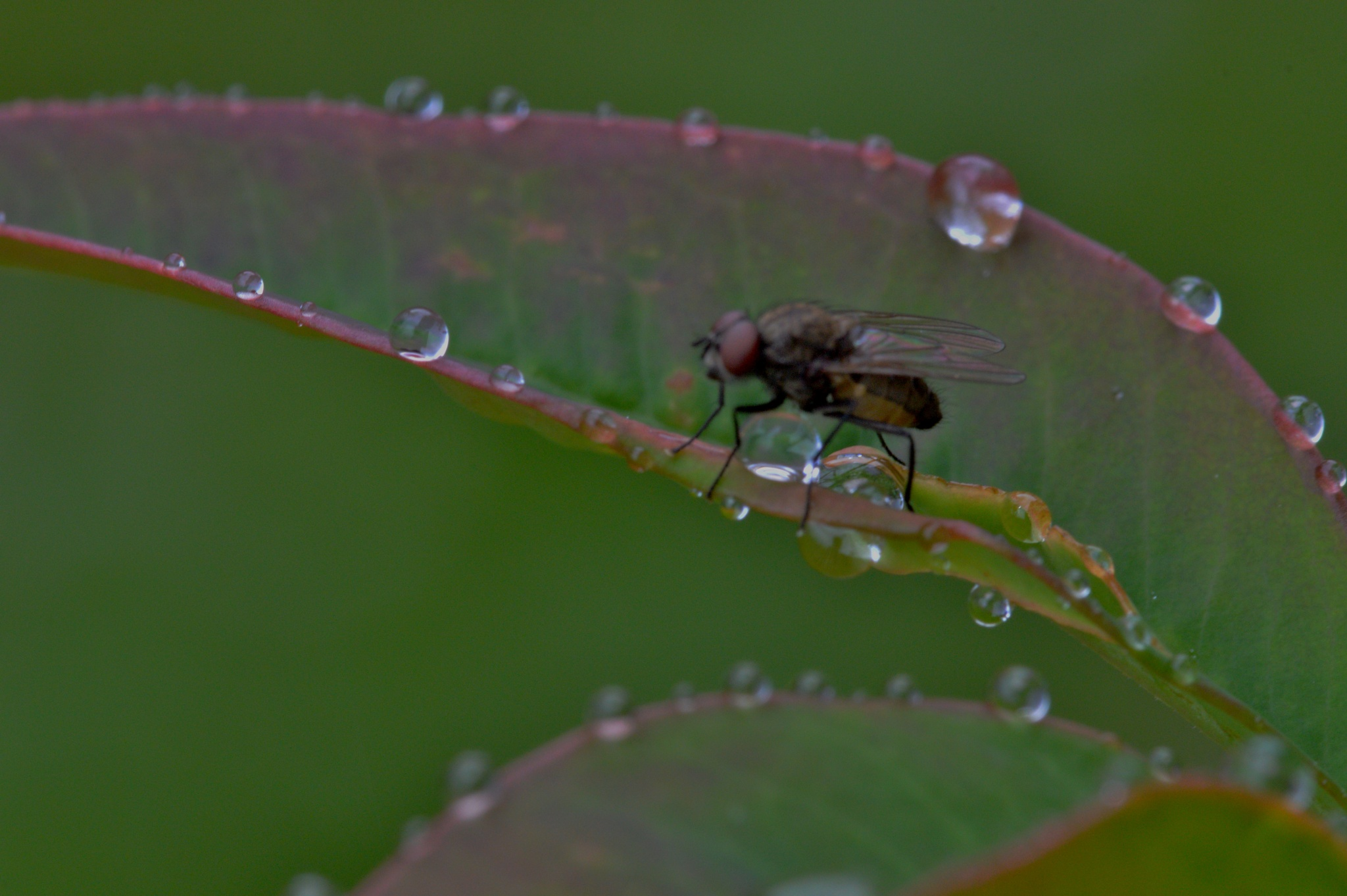 Photo in Macro #water drops #rain #nature #garden #leaves #fly insect #insect