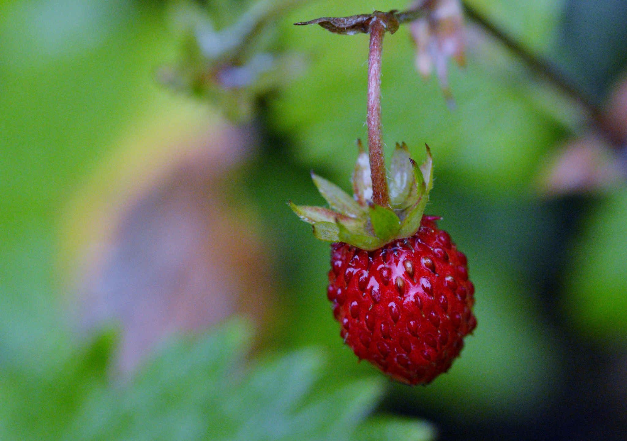 Photo in Macro #nature #wildfruit #strawberry #red #fruit