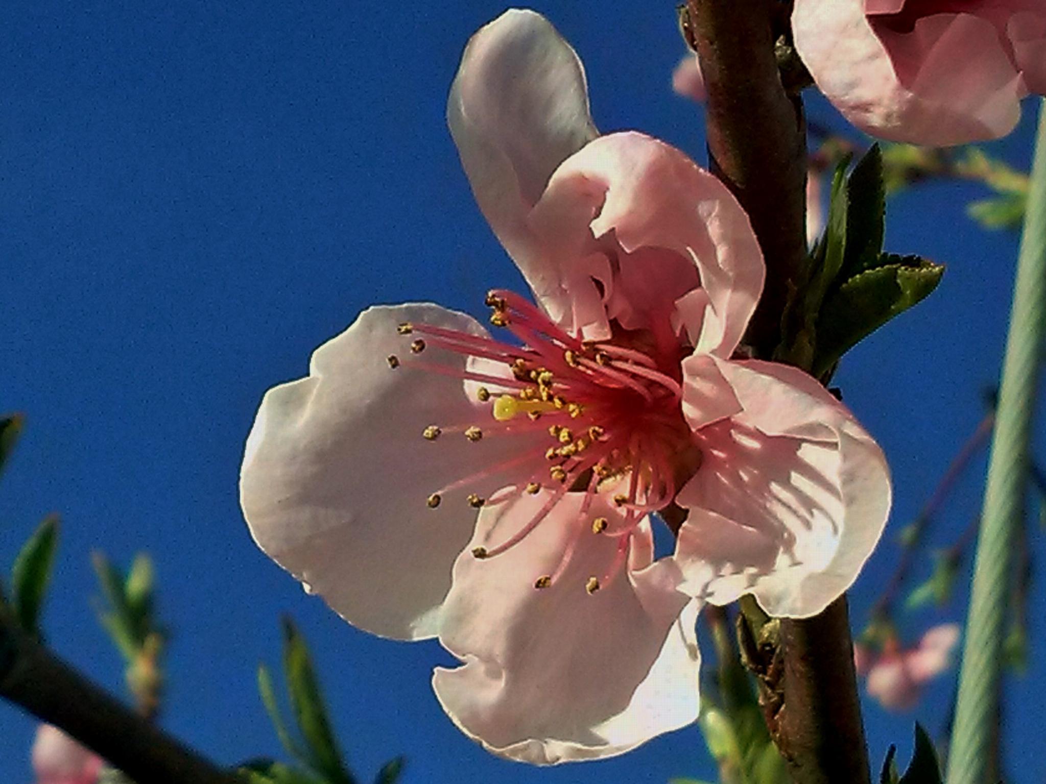 peach flowers by lorena.rinaudo.9