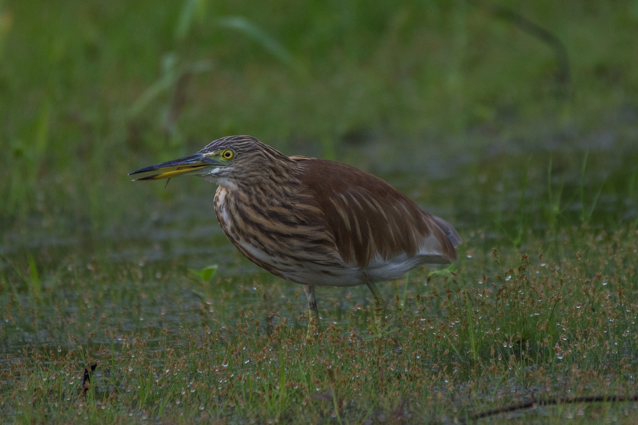 Indian Pond Heron (DSC_5903) by Jude Clarence Cooray