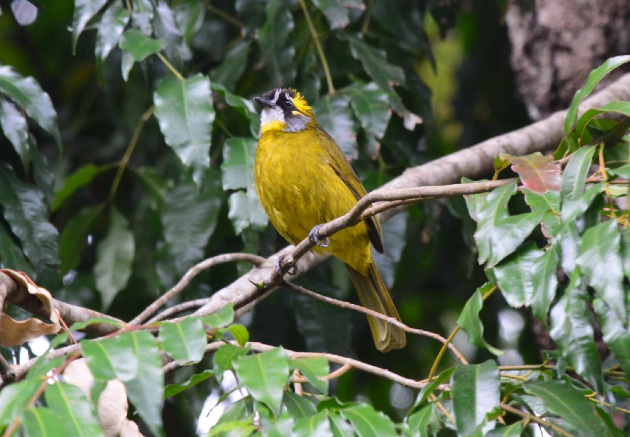 Yellow Eared Bulbul by Jude Clarence Cooray