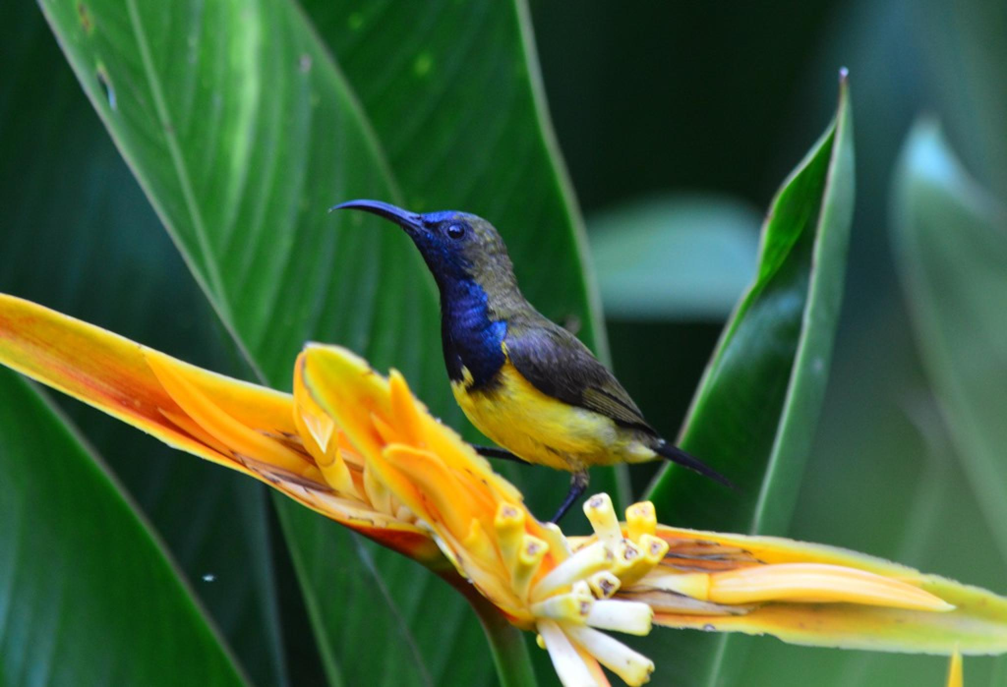 Olive backed Sunbird (Male)-1 by Jude Clarence Cooray
