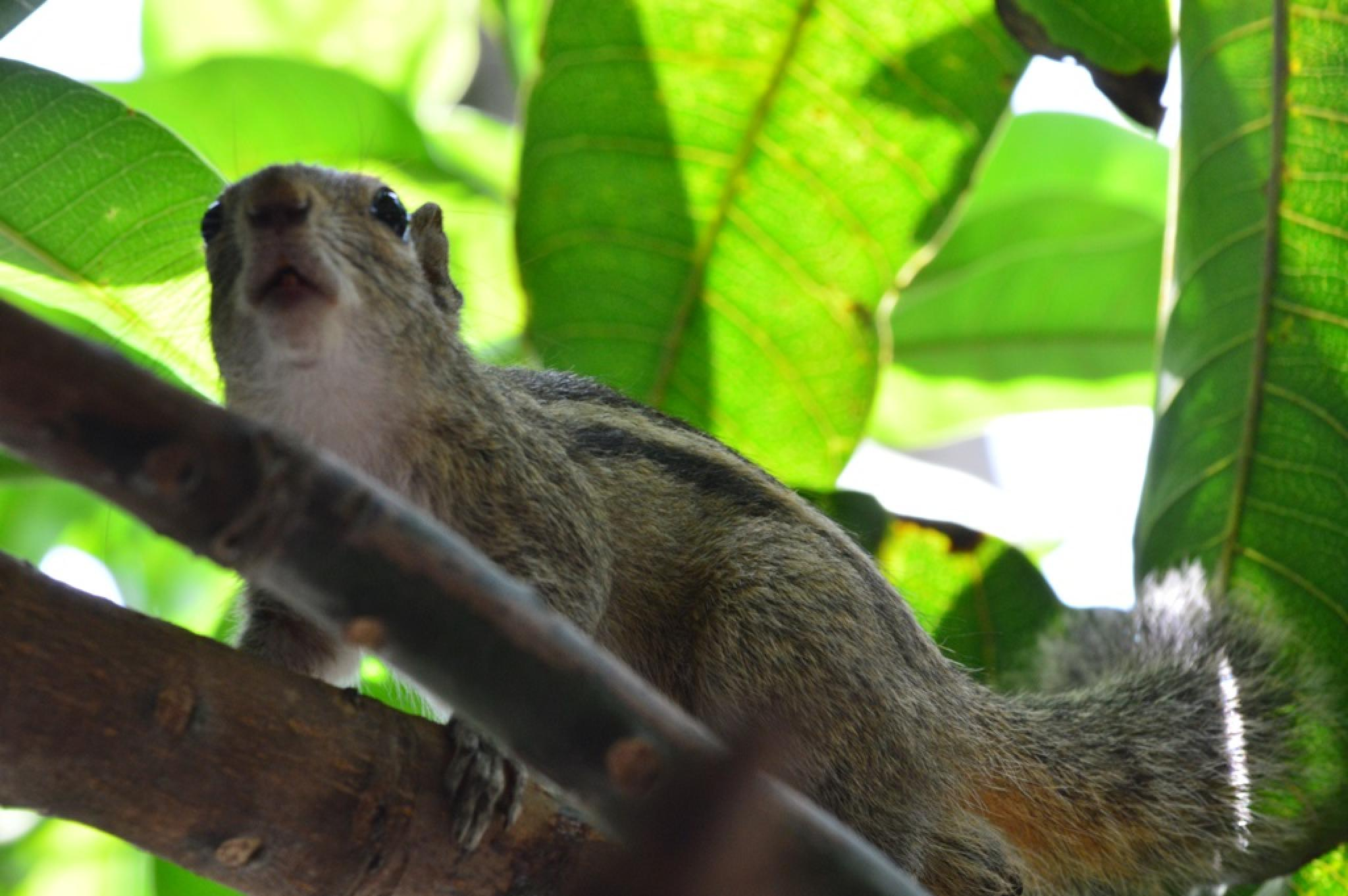Indian Palm Squirrel by Jude Clarence Cooray
