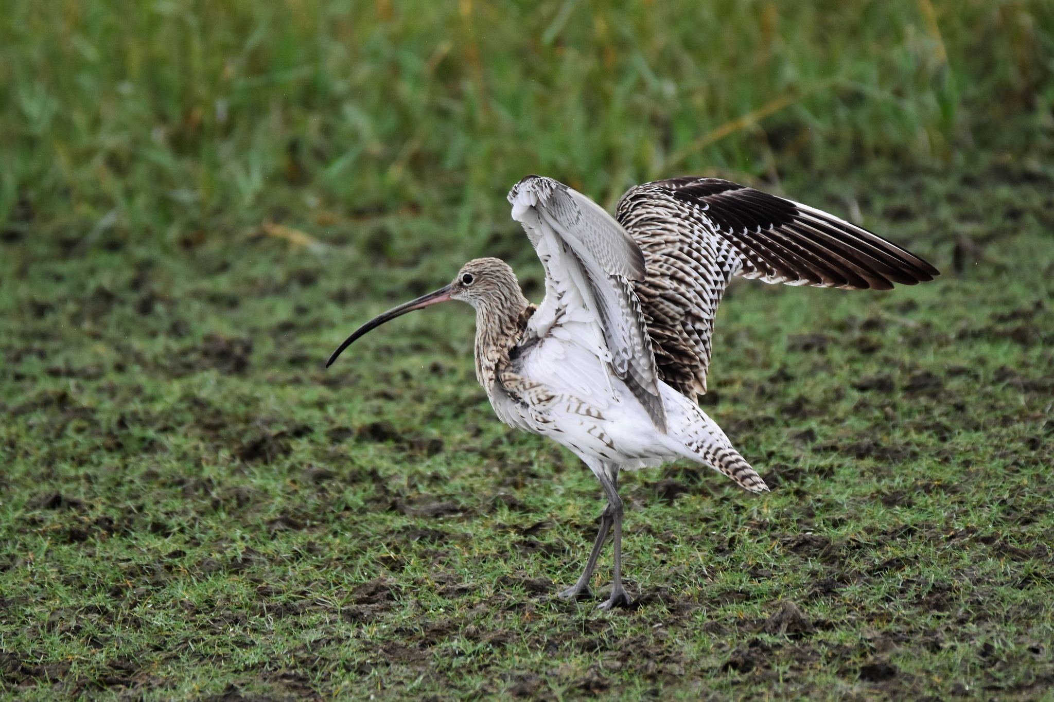 Eurasian Curlew by Jude Clarence Cooray