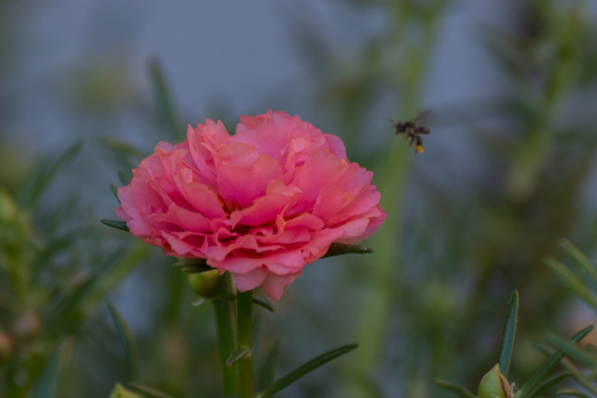 Pink Flower (DSC-5282) by Jude Clarence Cooray