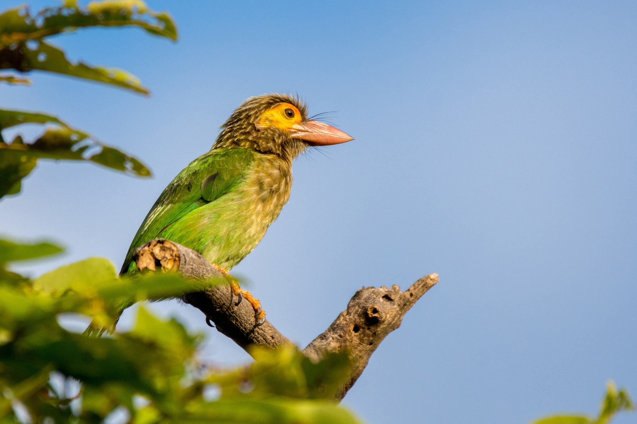 Brown Headed Barbet by Jude Clarence Cooray