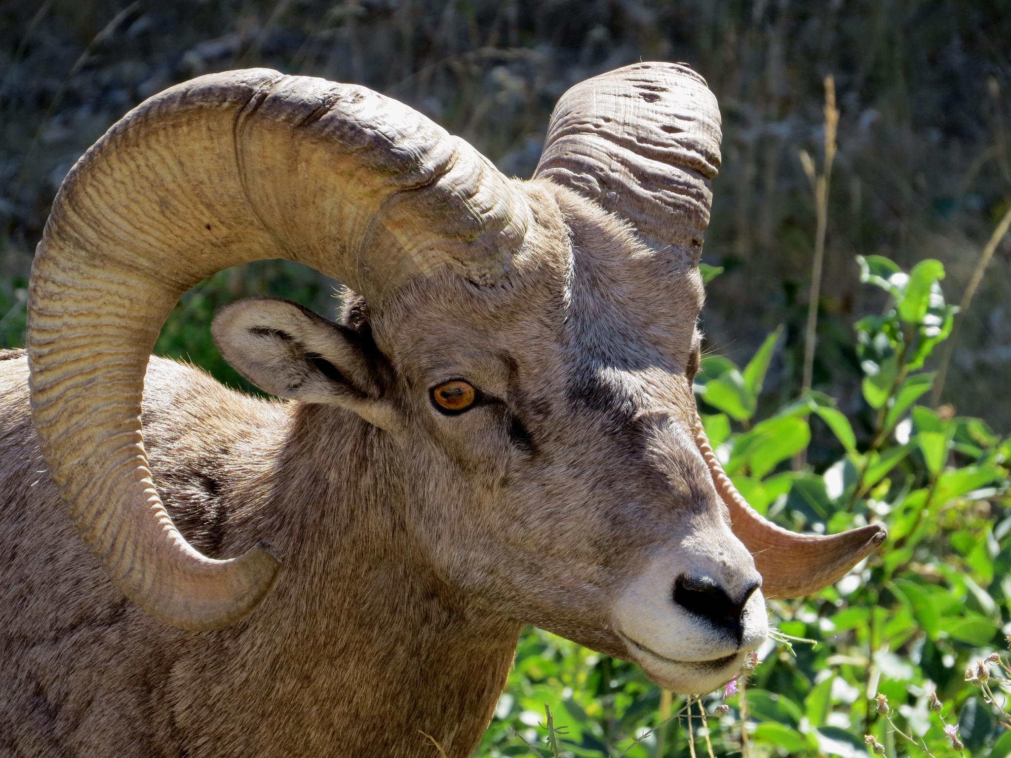 Photo in Animal #big #horn #sheep #noxon #montana #bison #range