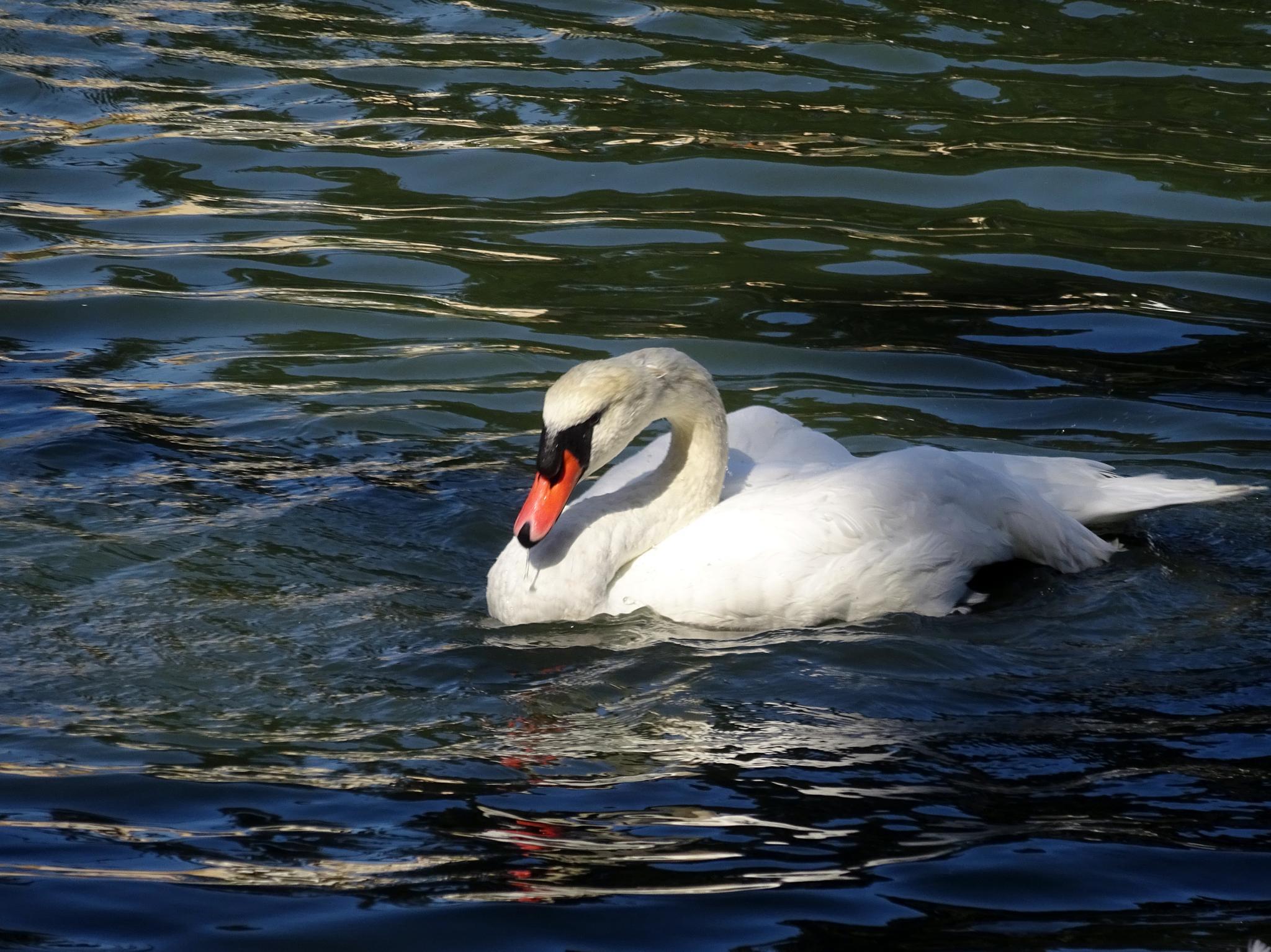 Playful swan by gudrun.jones
