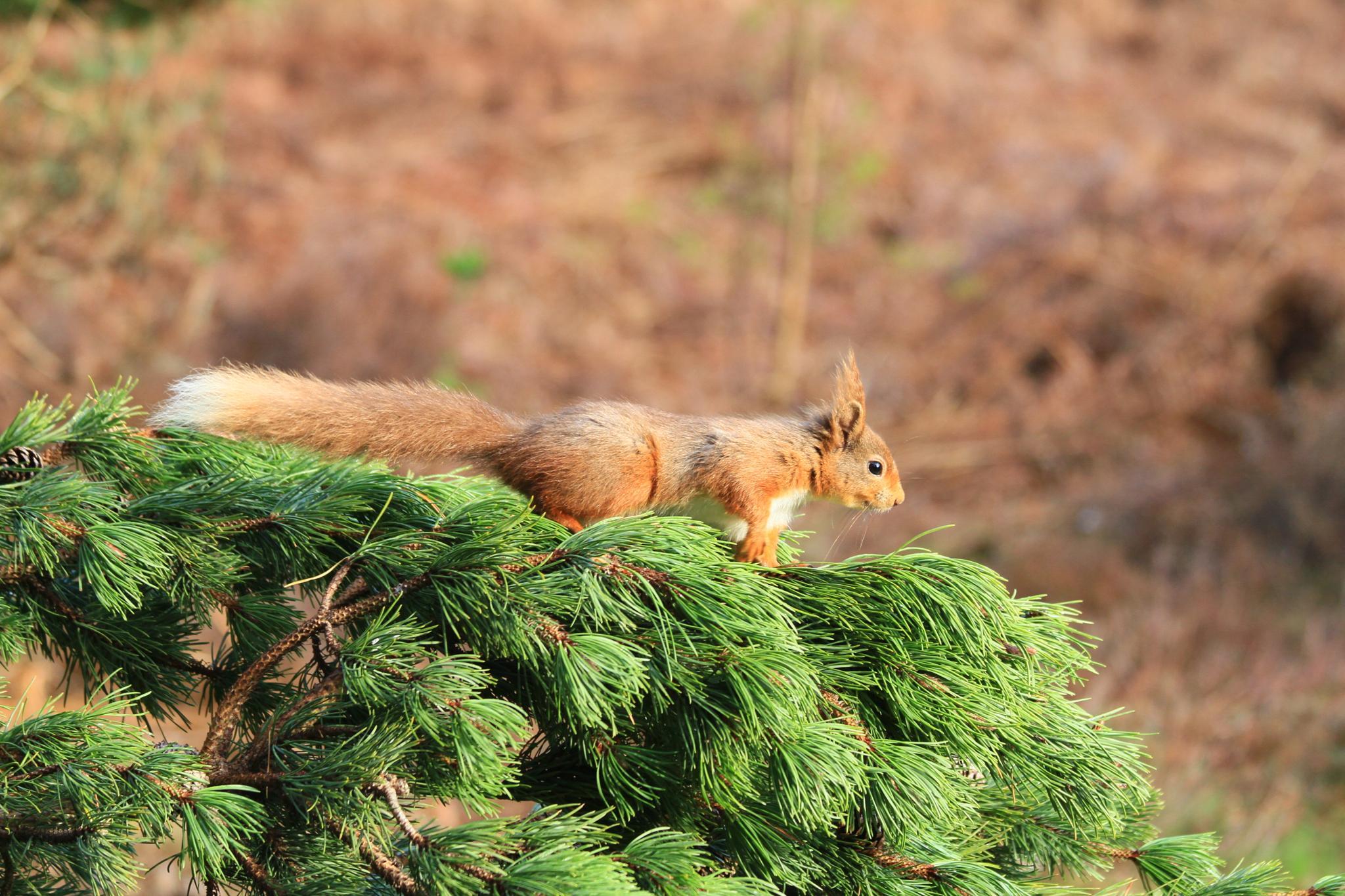 Photo in Animal #co durham #united kingdom #red squrirrel #reservoir #animals
