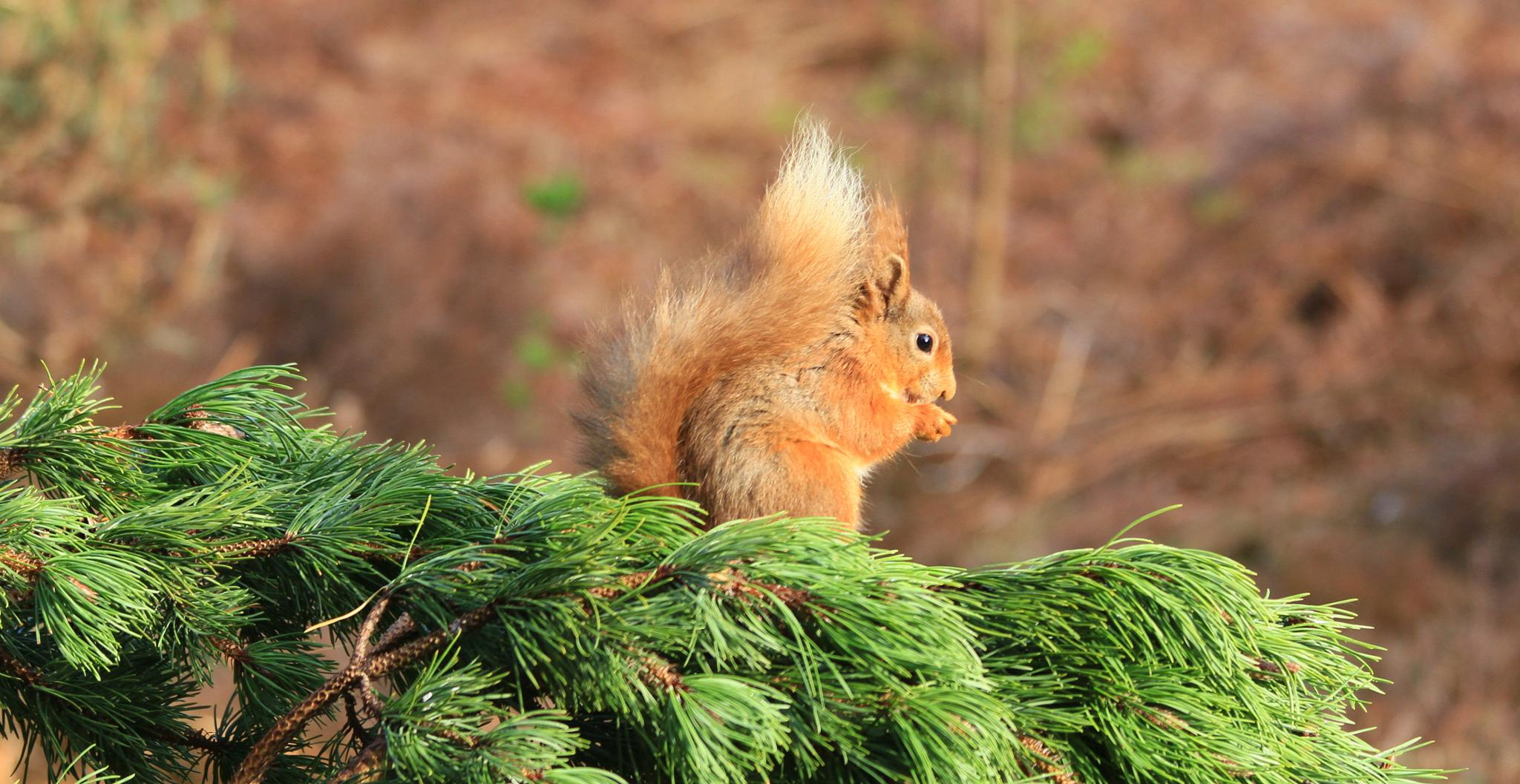 Red Squirrel on a pine branch by rsww19