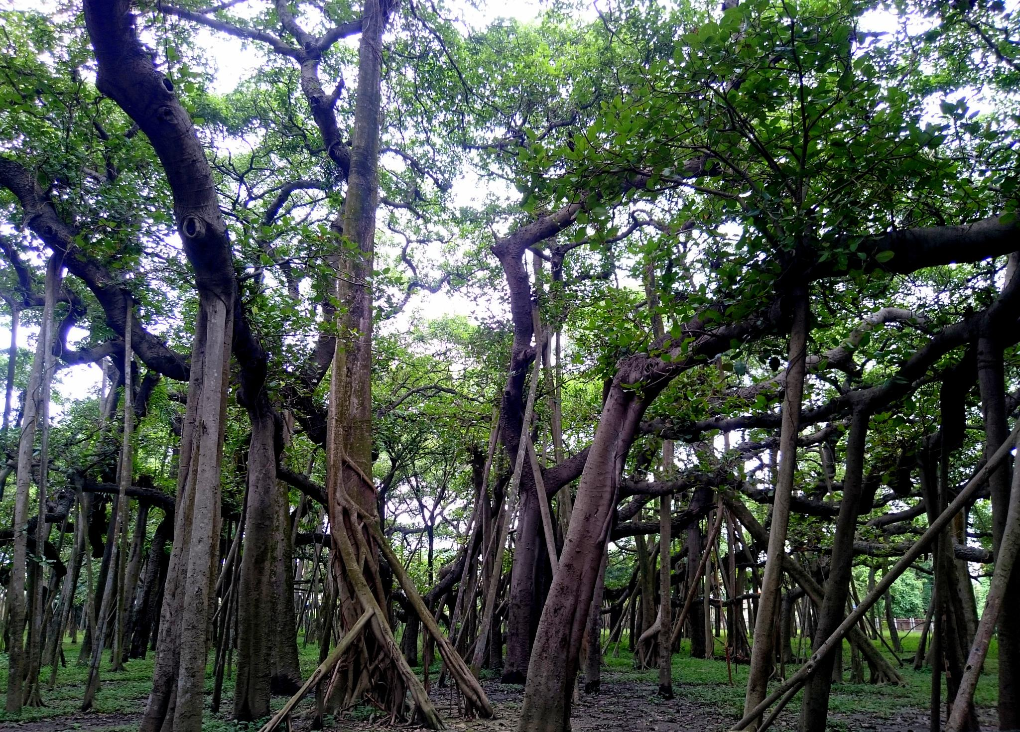 the great banyan tree..... by rahul.SAH