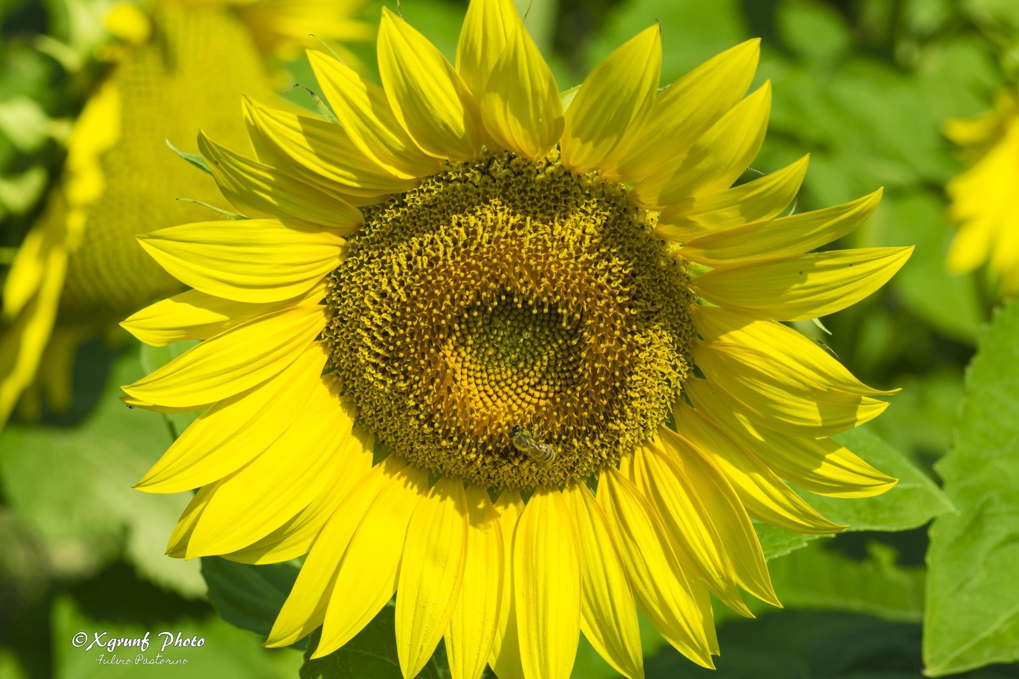 Sunflowers by fulvio.pastorino