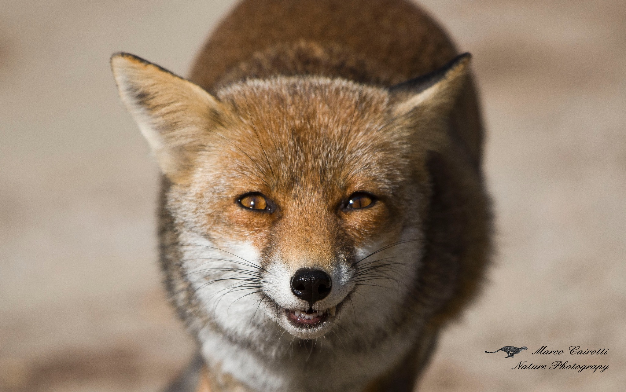 Fox by marco.cairotti