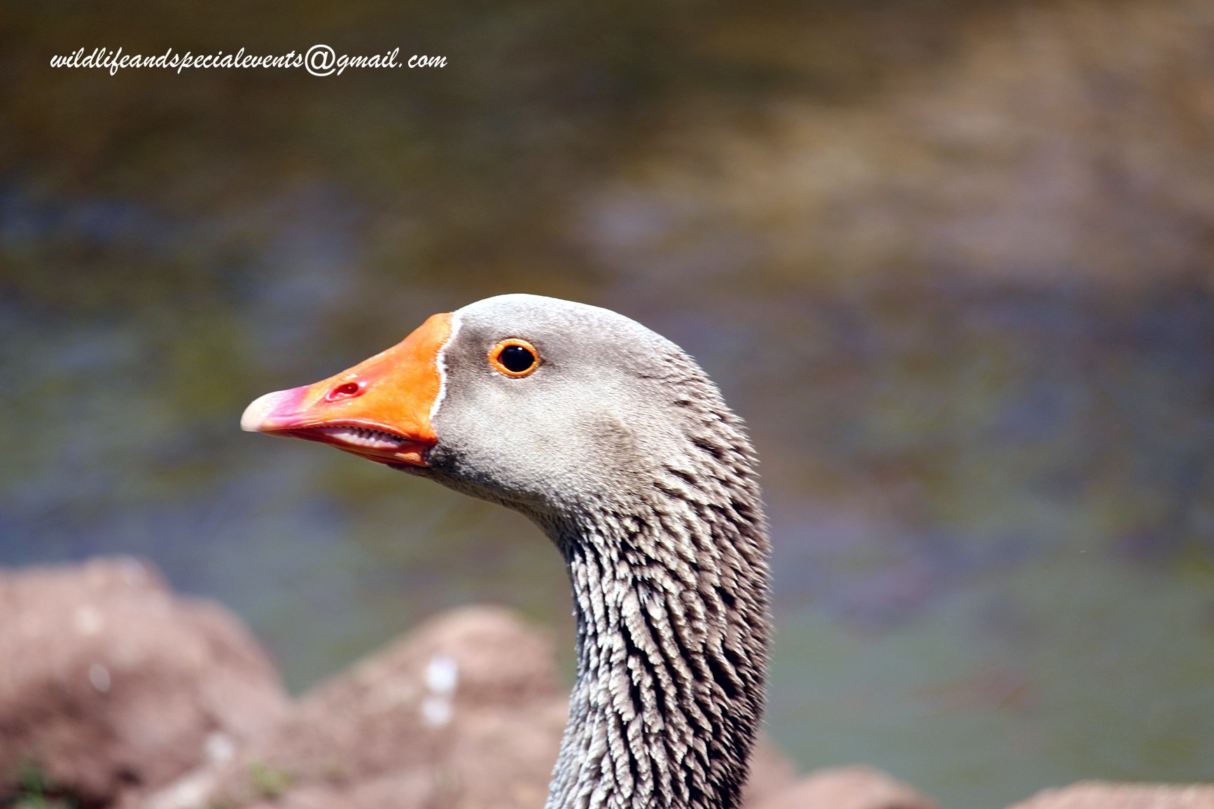 Hello goose by oosie