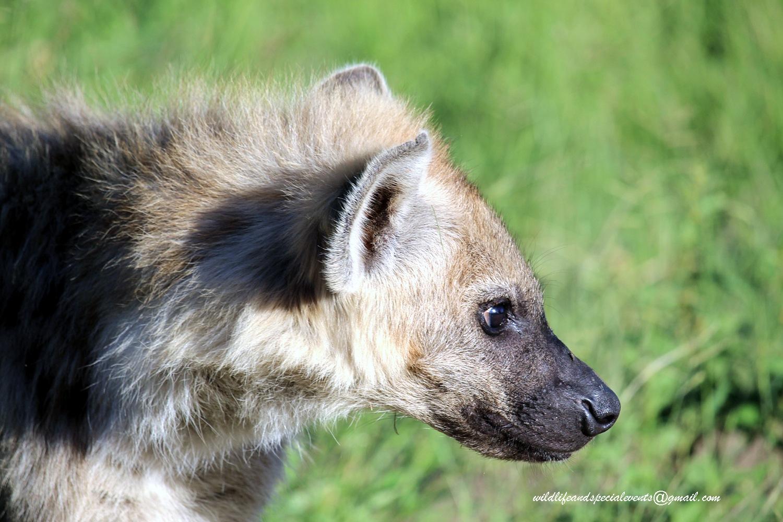 Hyena Pub by oosie