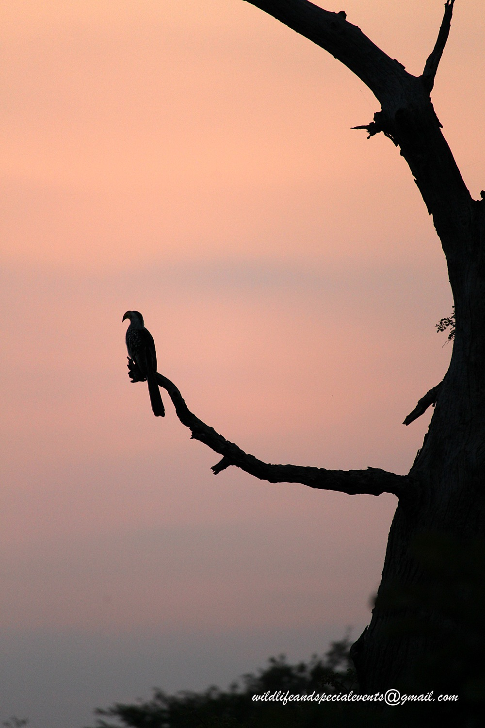 The hornbill at sunrise by oosie