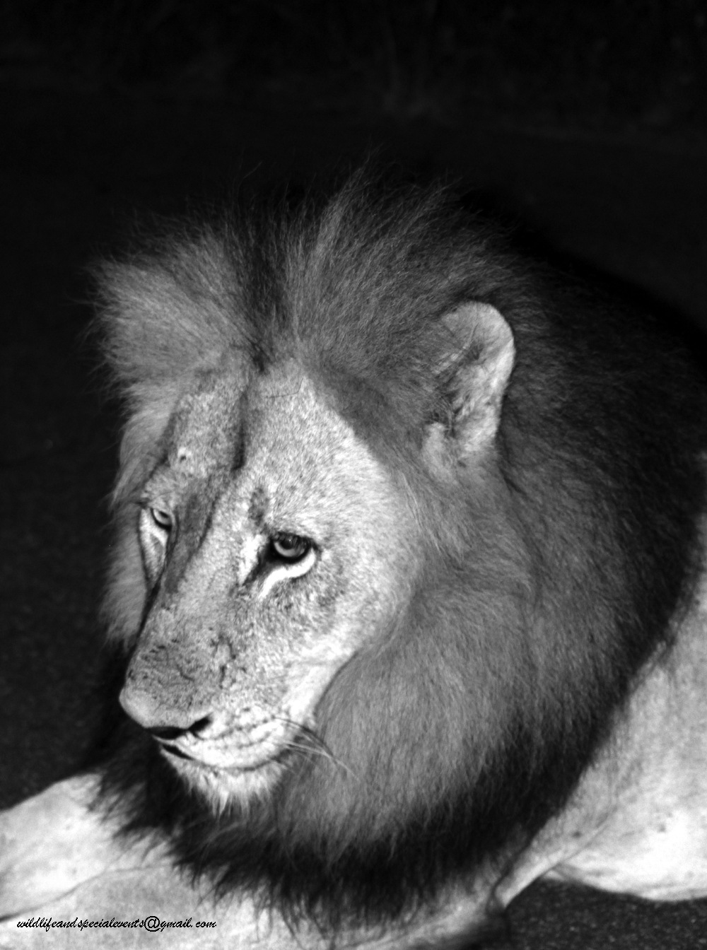 Photo in Black and White #lion #wildlife #animal #b&w