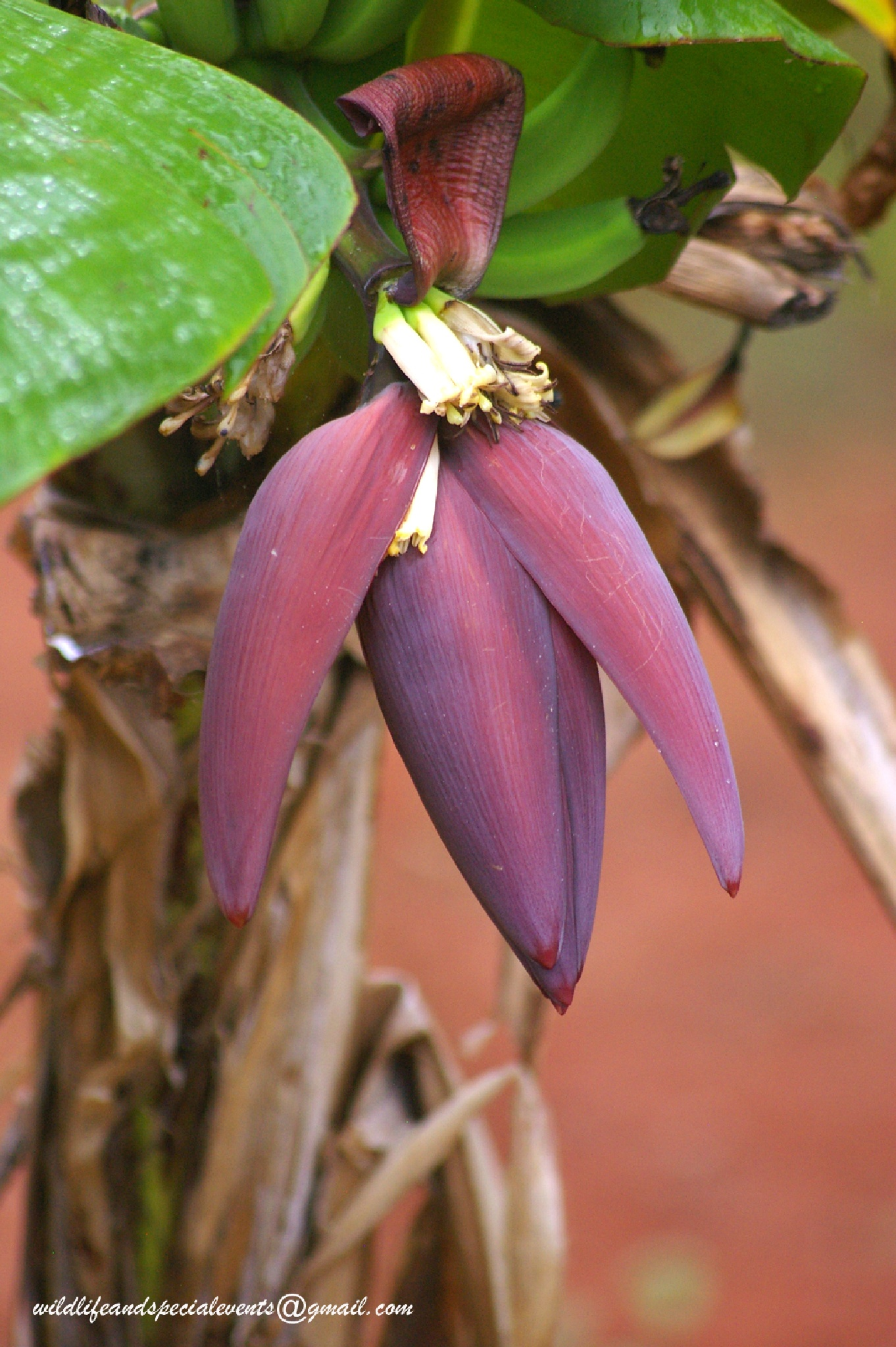 The Banana flower by oosie