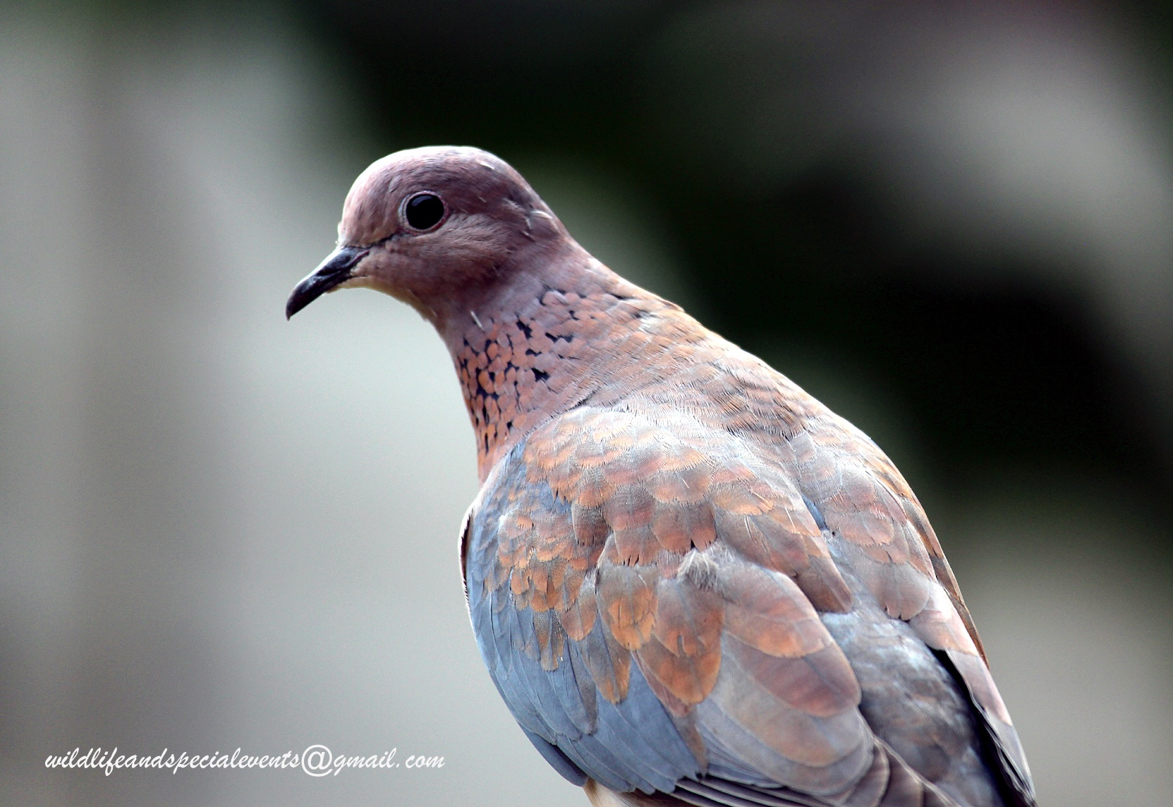 Peace dove by oosie