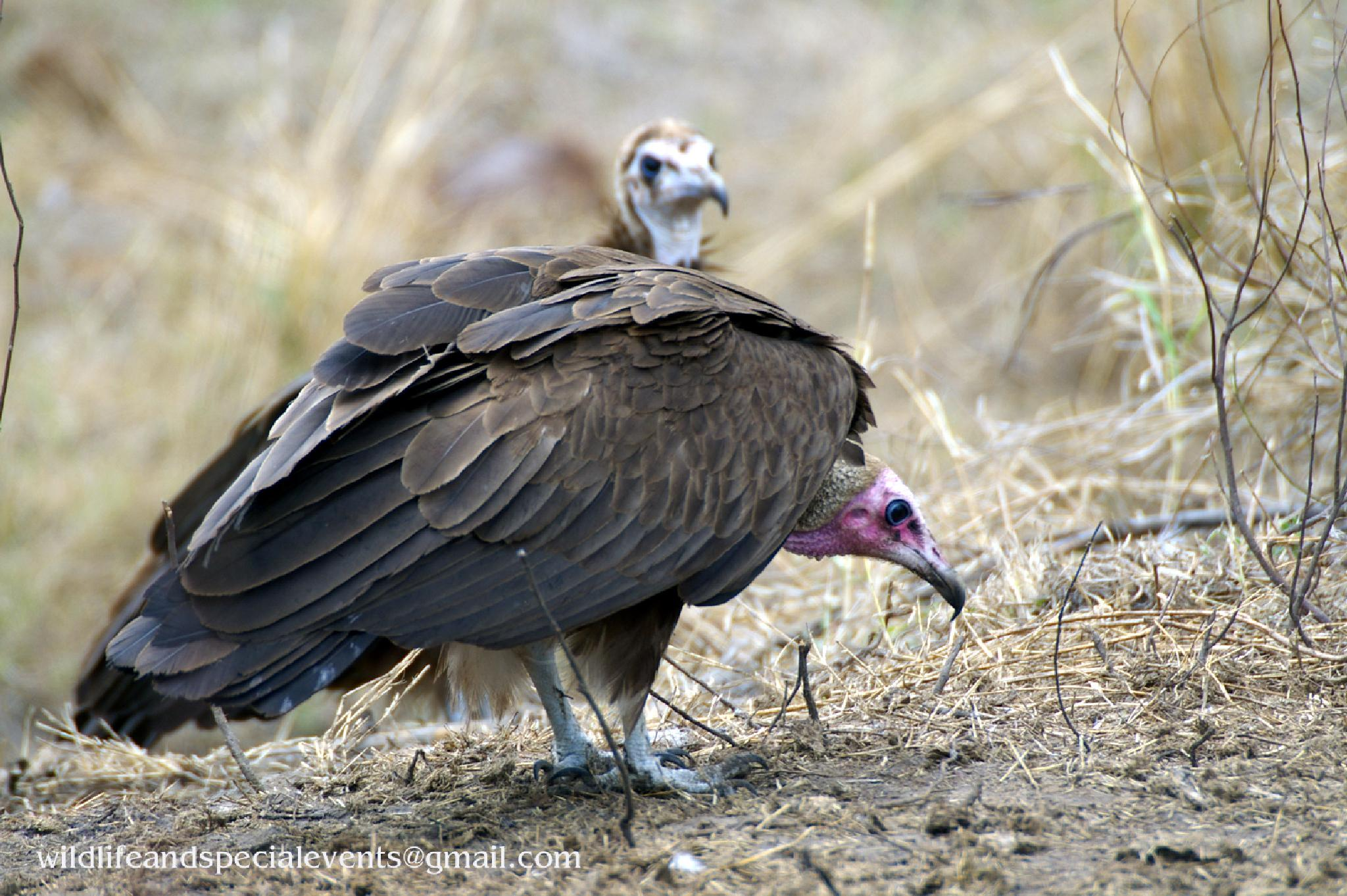 Photo in Animal #nature #vulture #africa