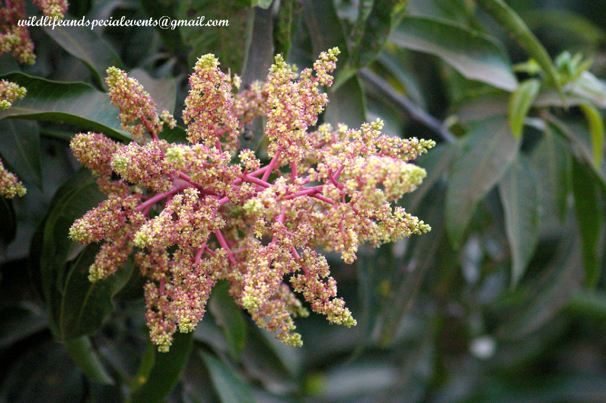 Mango flower by oosie