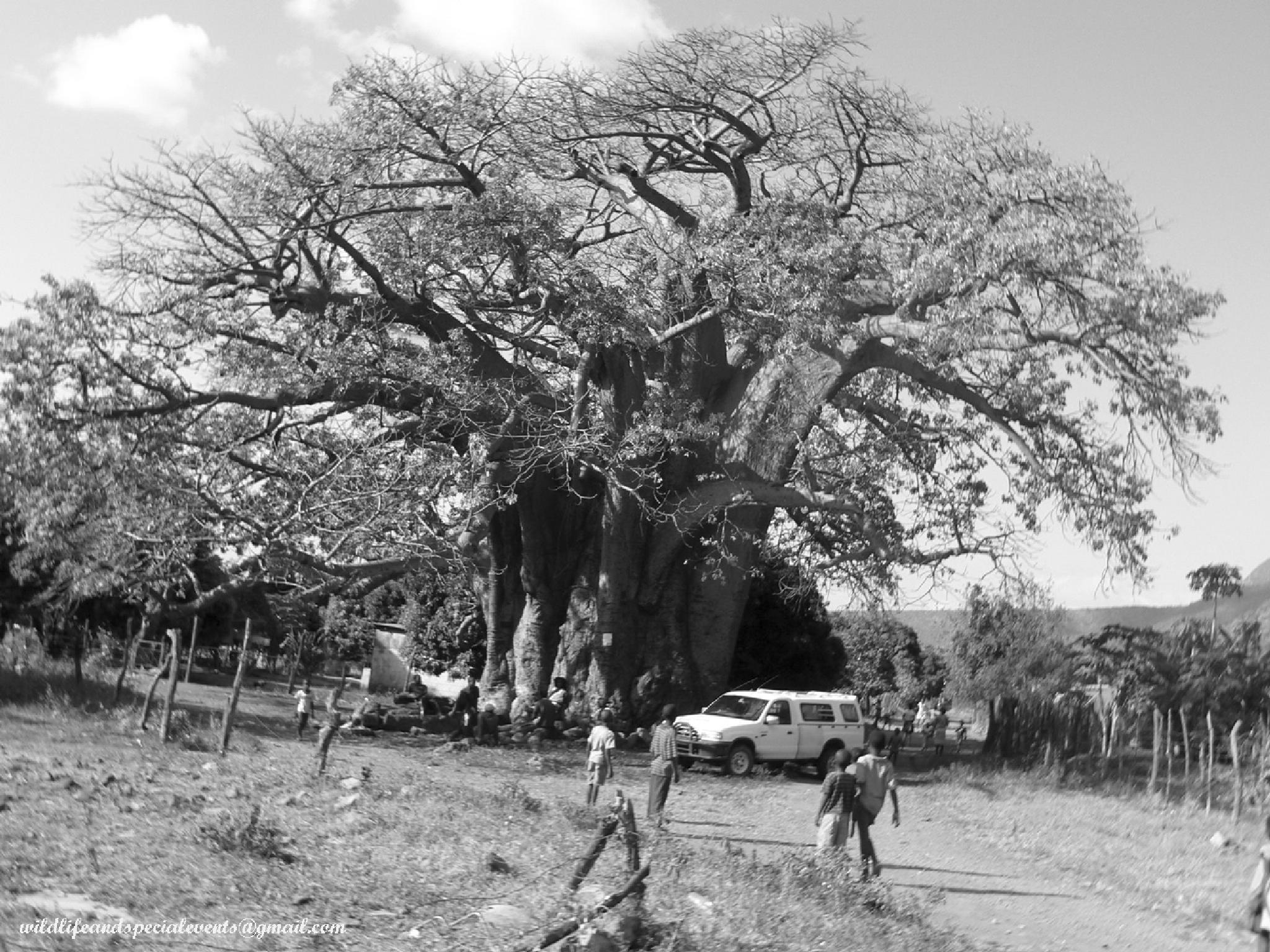 Baobab tree  by oosie