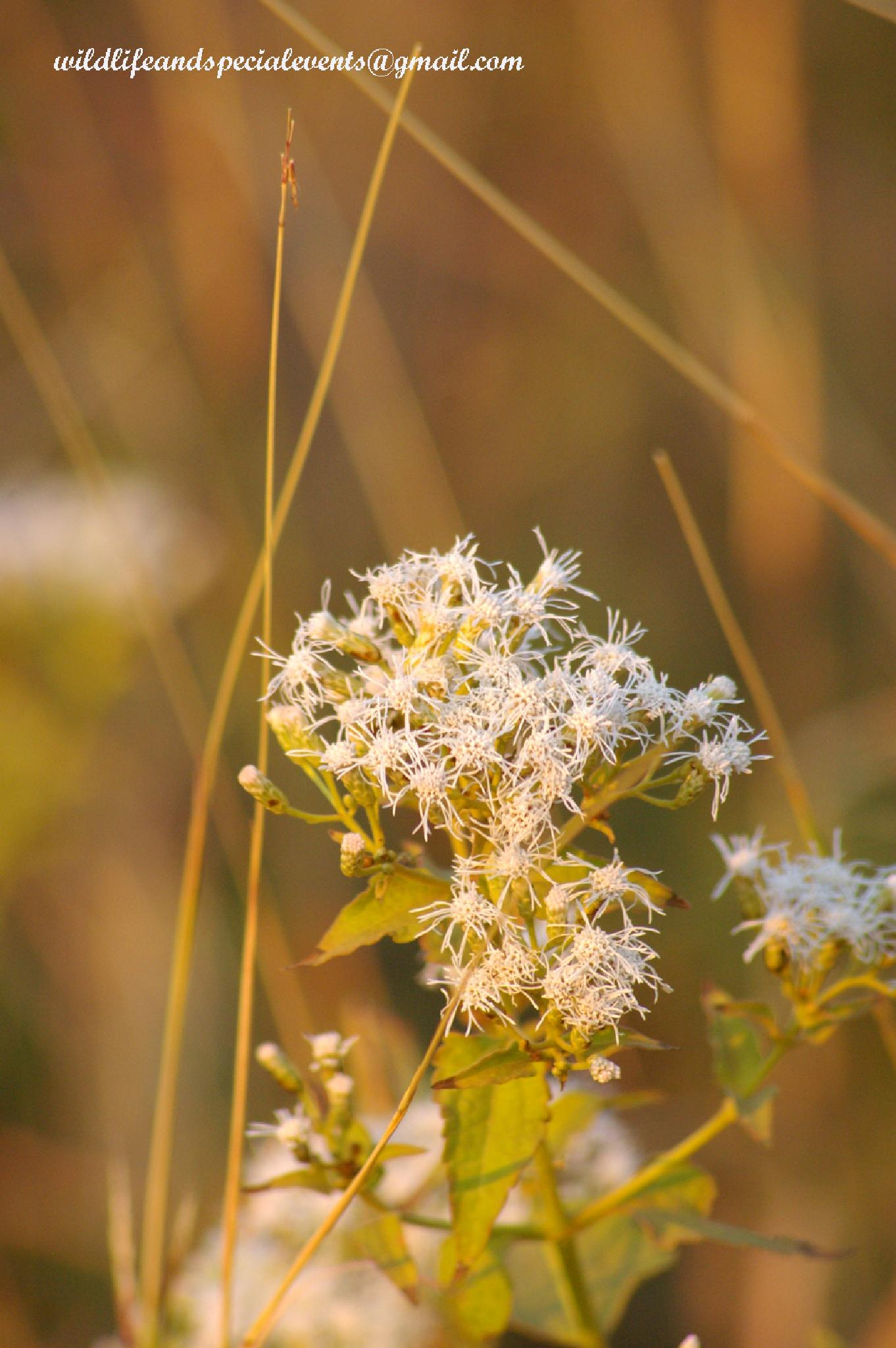 White weeds in the park by oosie