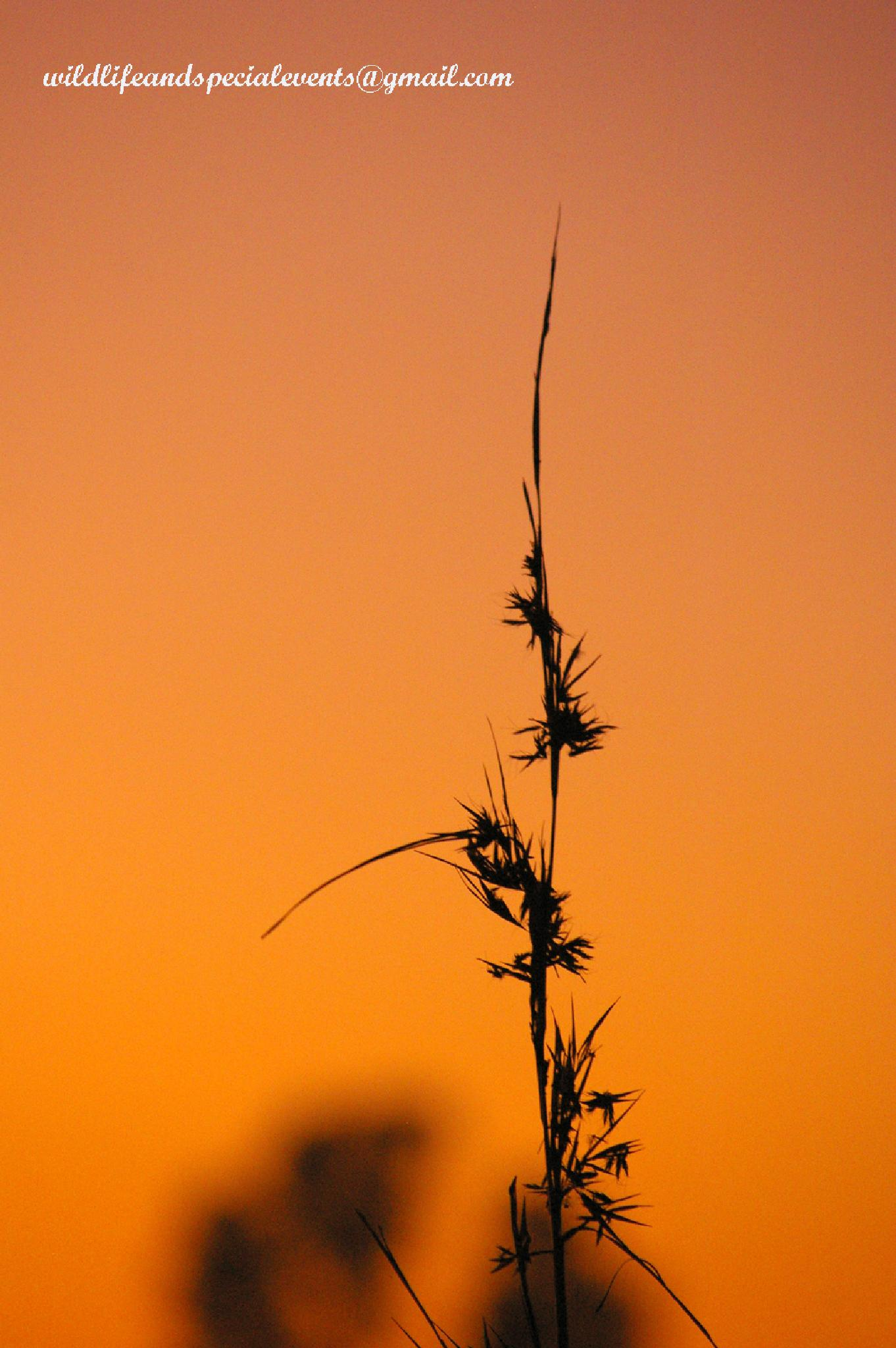Long grass in the Sunrise by oosie