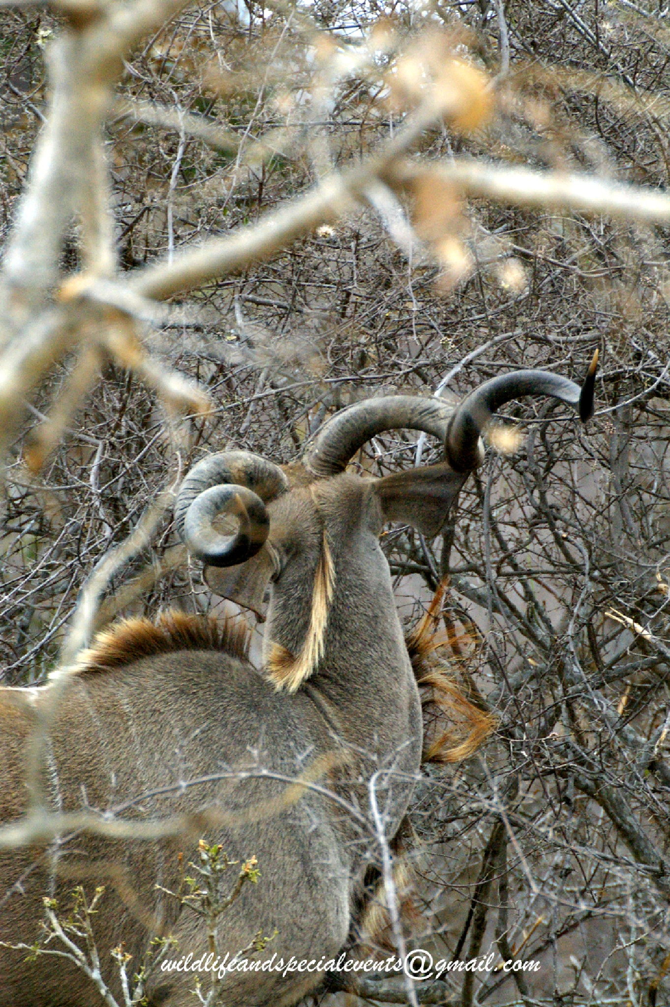Kudu and his Spiral Horns by oosie