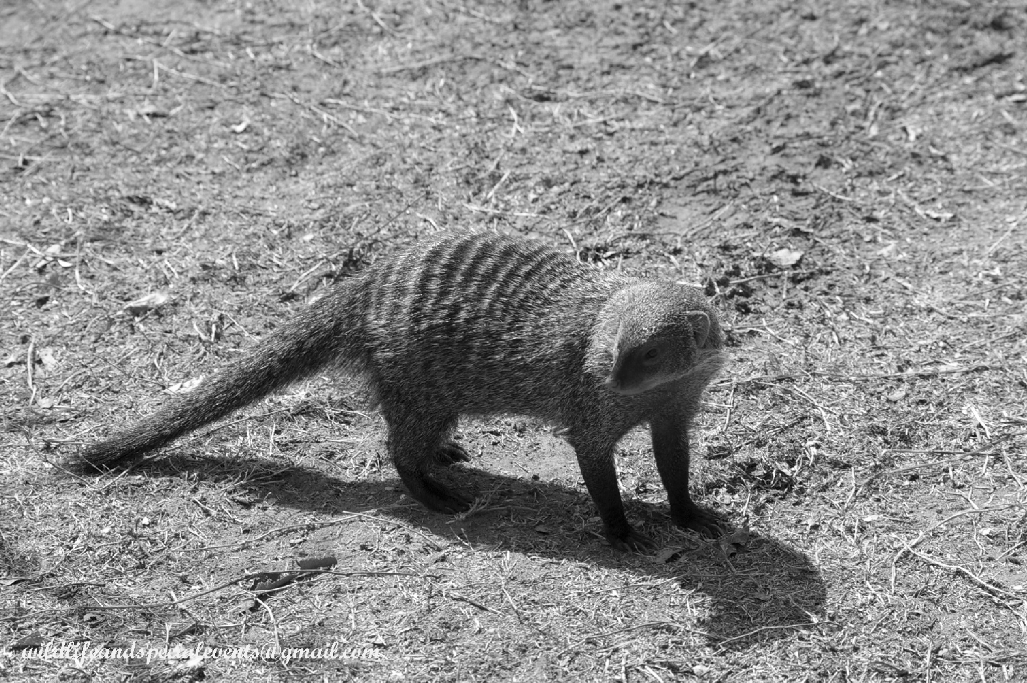 Banded mongoose and it's shadow by oosie
