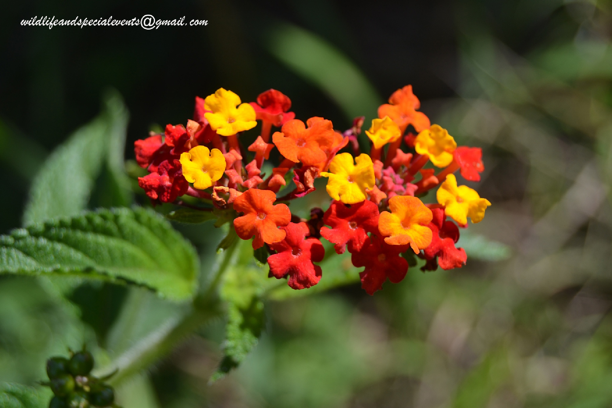 Lantana bouquet of colors by oosie