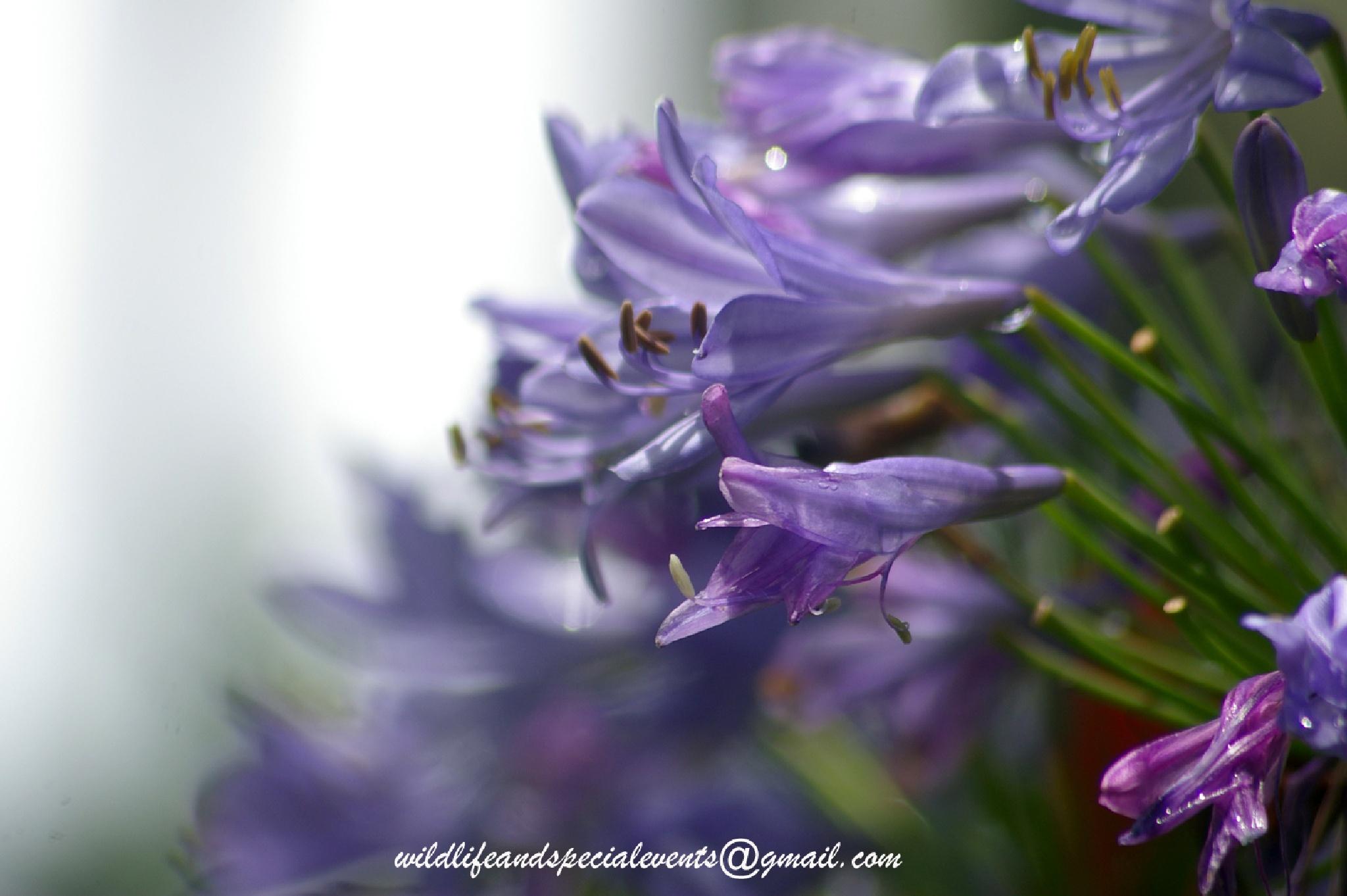 Purple flower of Love by oosie