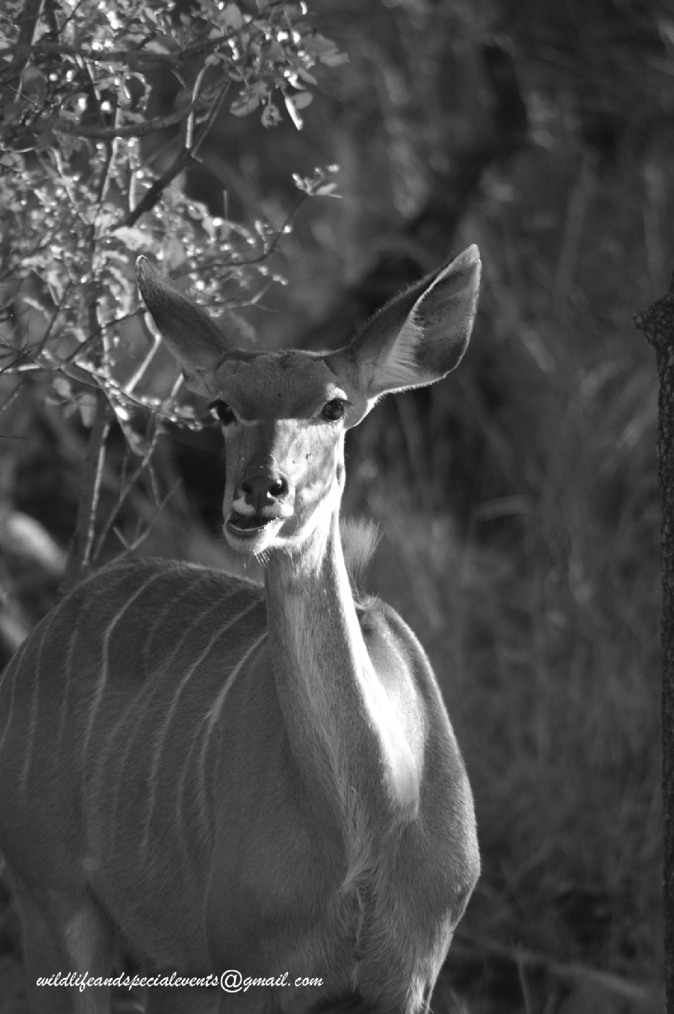 Black and White Female Kudu by oosie