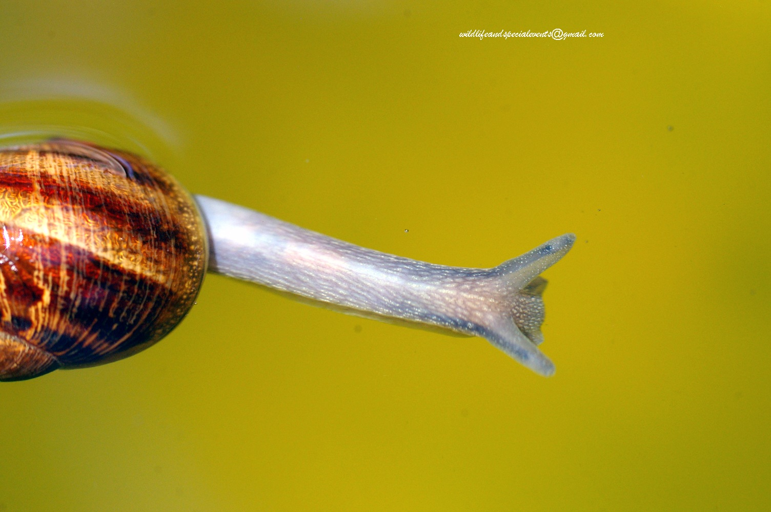 Swimming Snail by oosie
