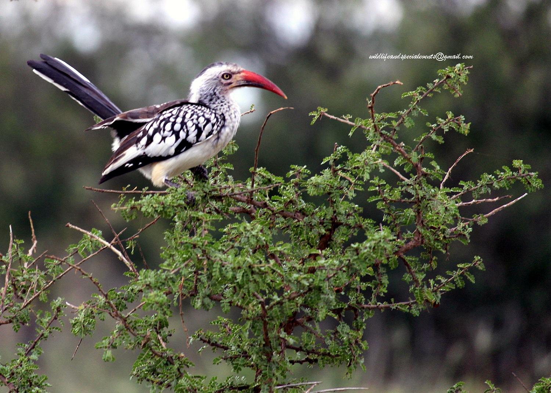 Red hornbill by oosie