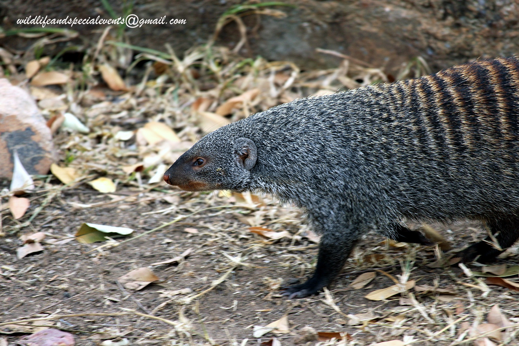 Mongoose by oosie